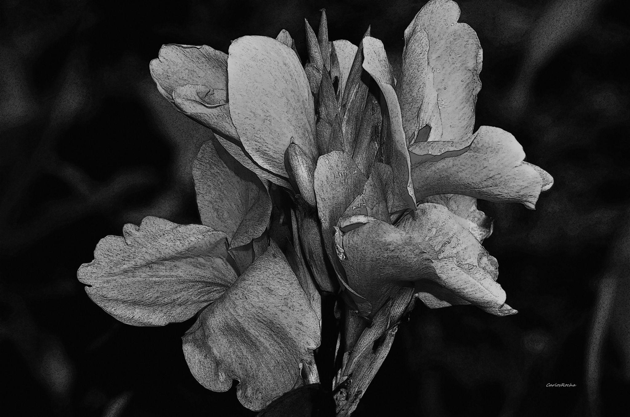 Lirio negro by carlosfiuzar
