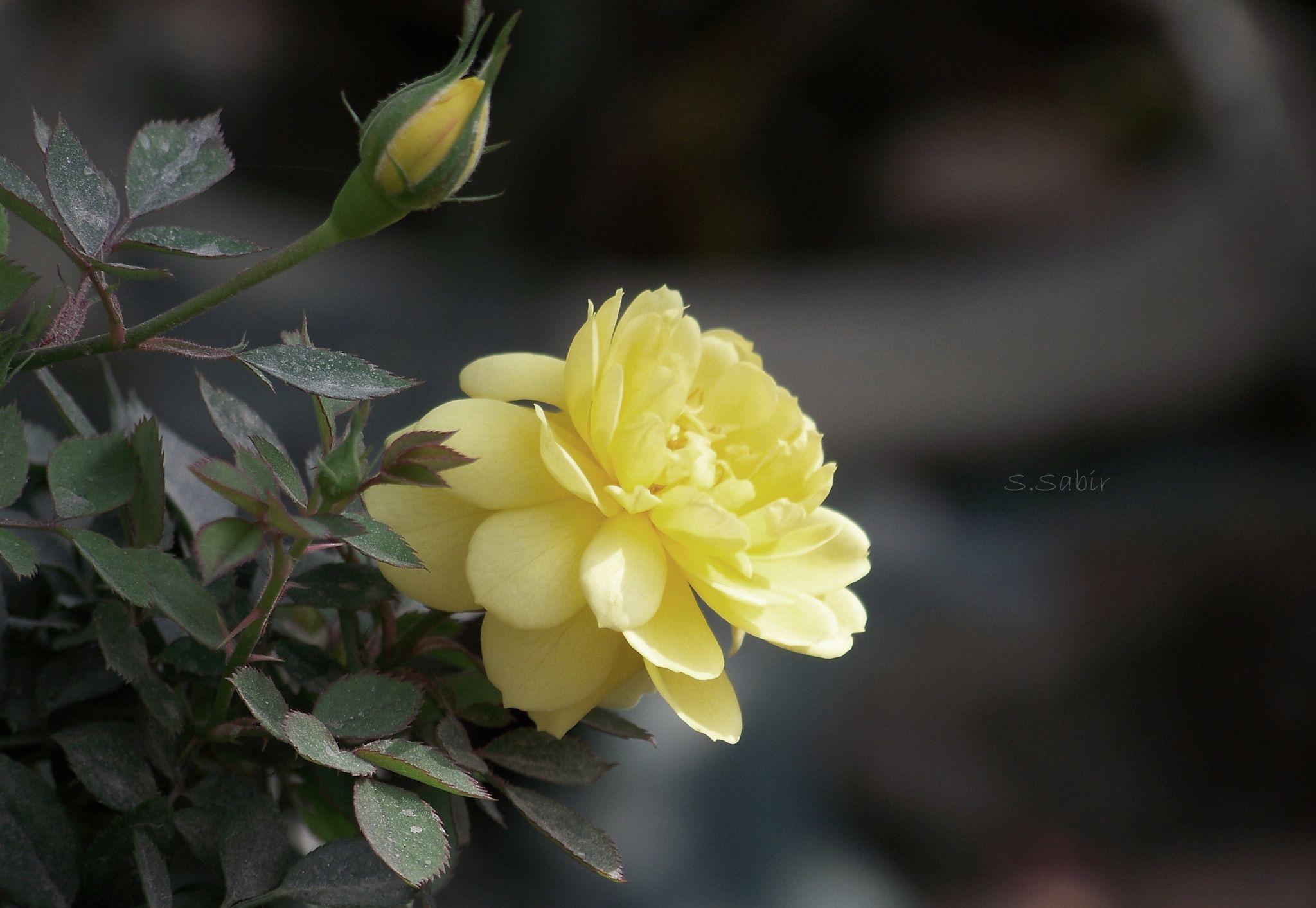 Yellow Rose by SaimoomSabir