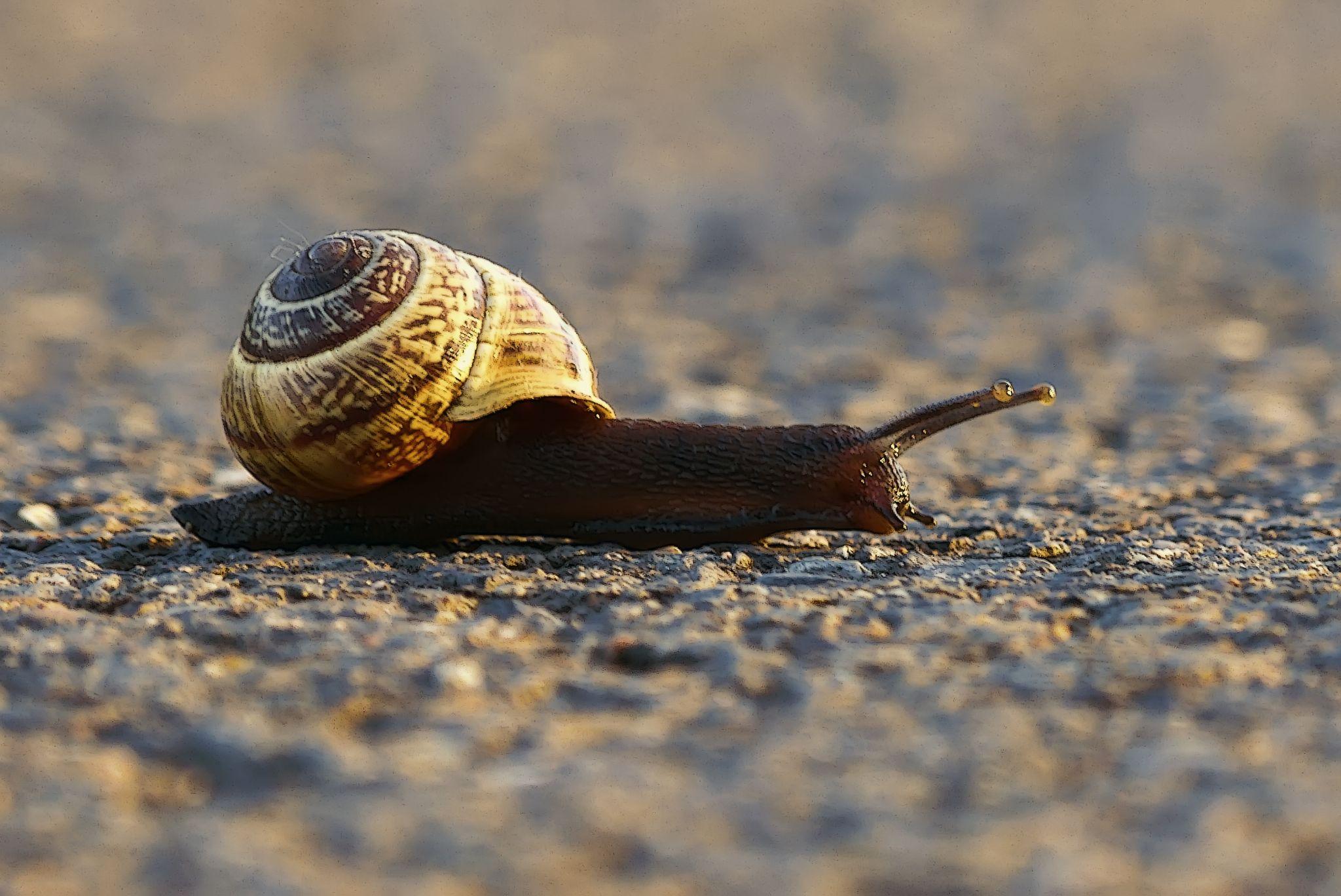 Snail at summer evening by Julian Nolte