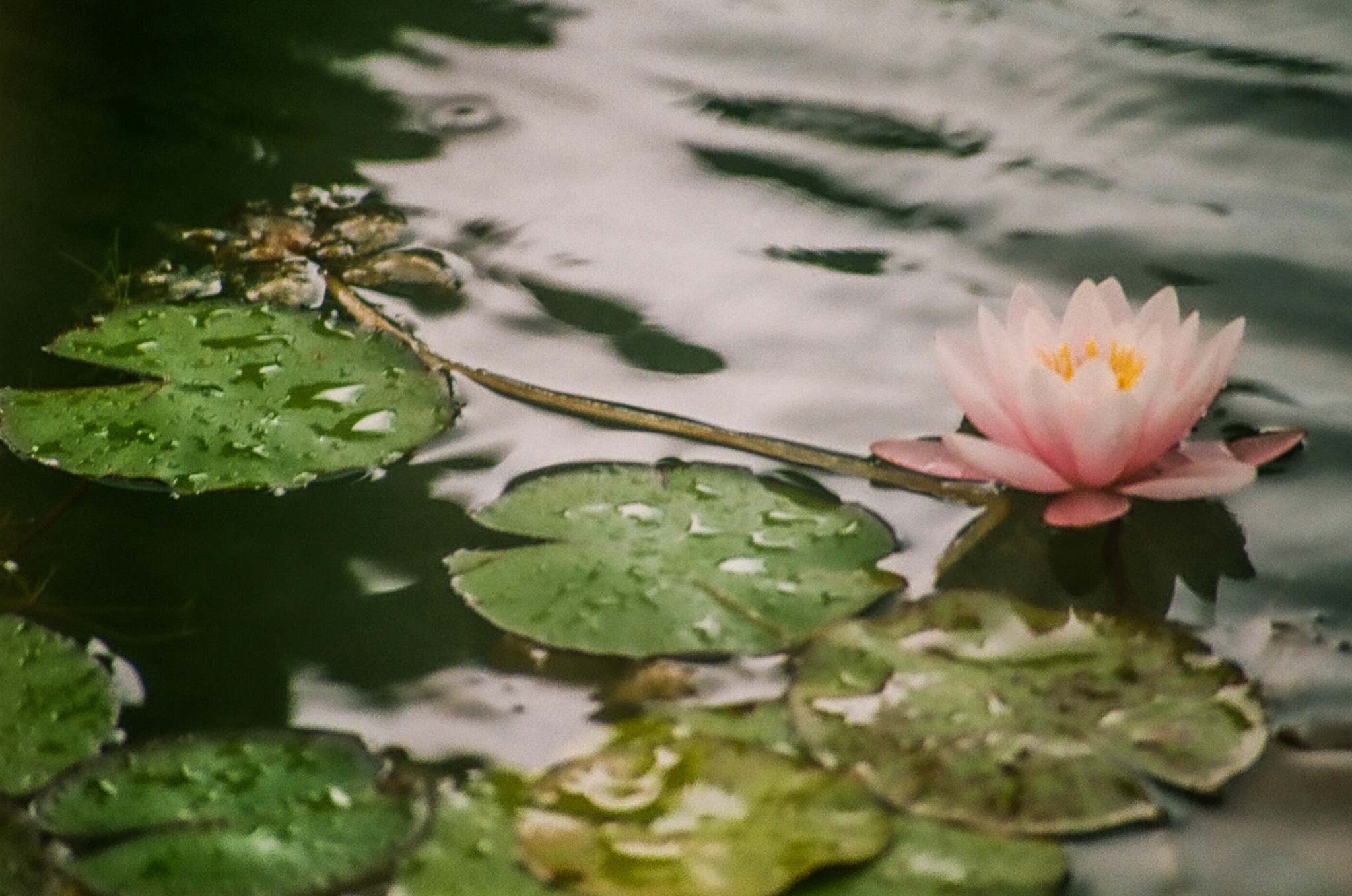 Lotus by Anibal Aguillon Salazar