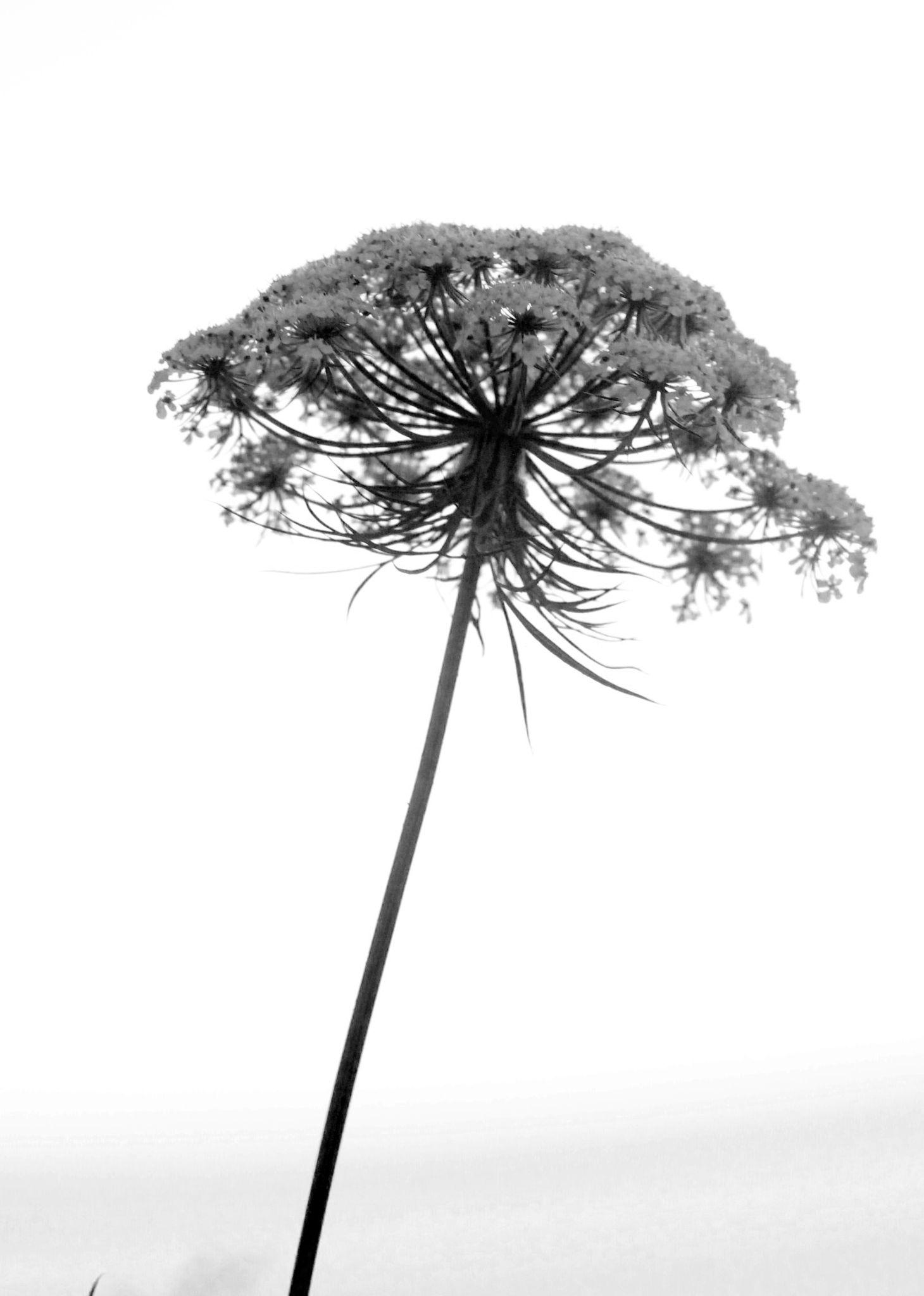 flower by ryo.bajuri