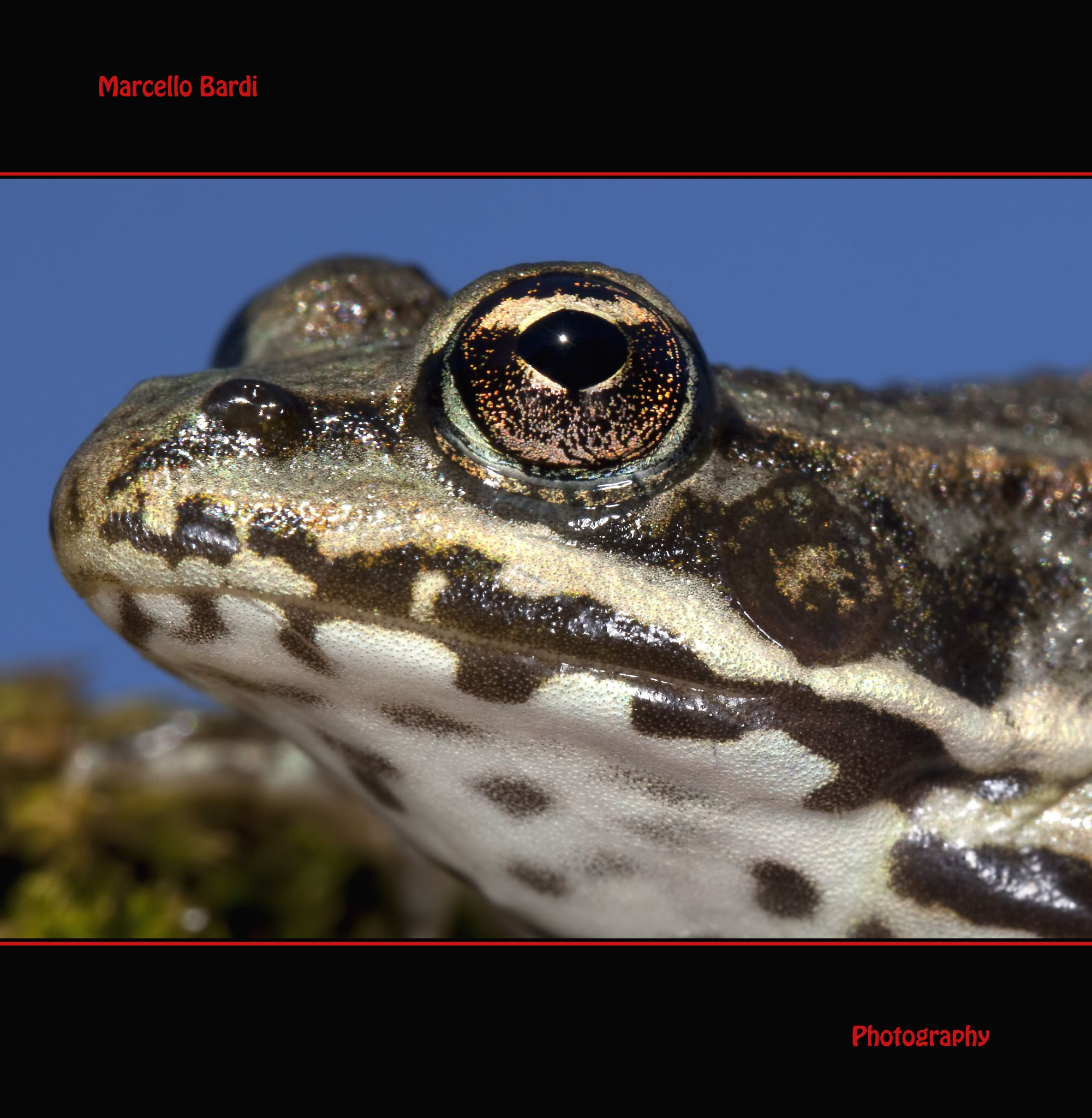 Frog by marcello.bardi.3