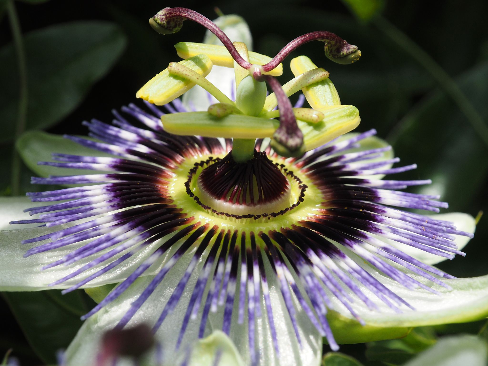 Passion Flower by haydn.greenow