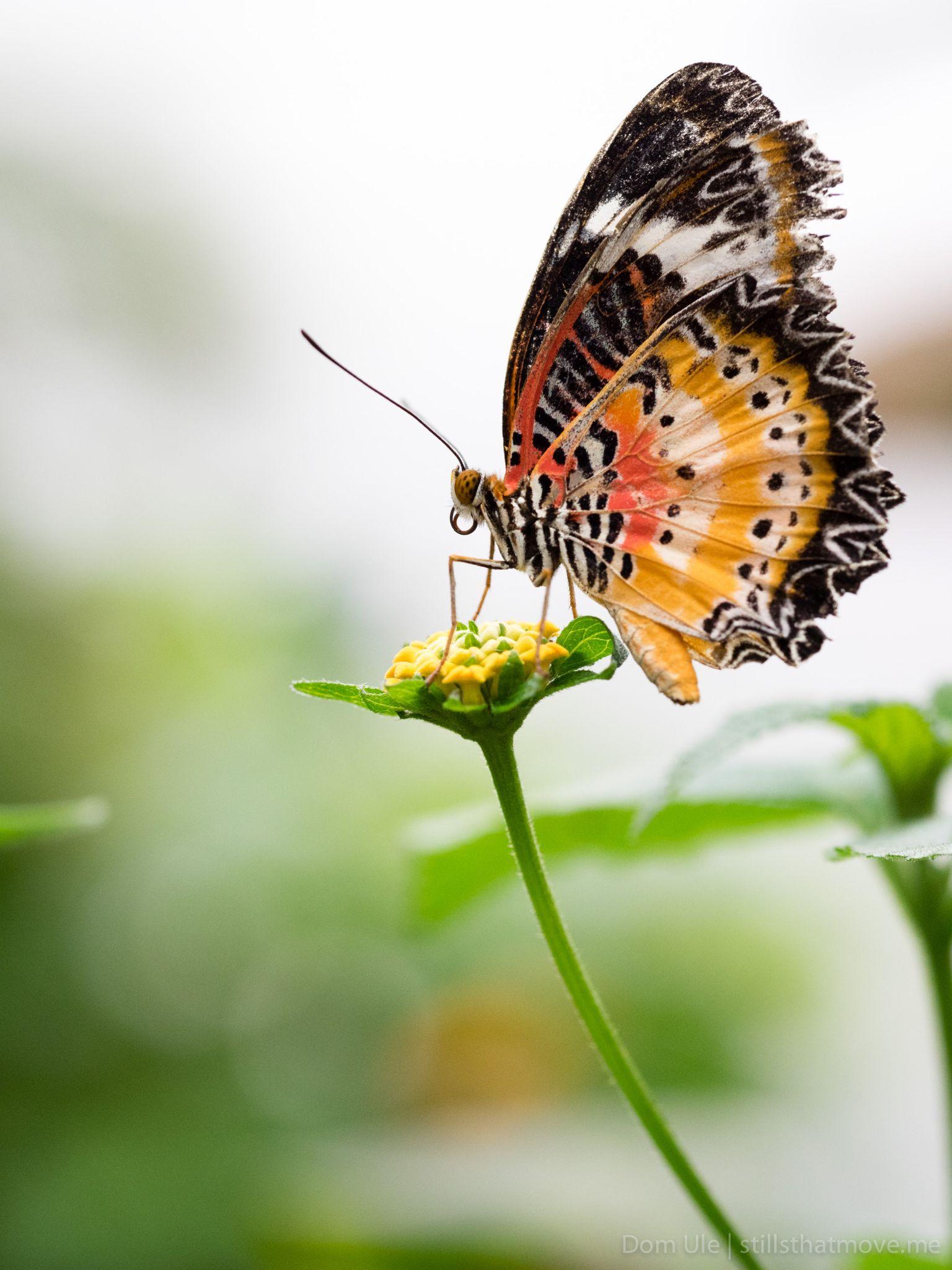 Fancy Butterfly by Dom Ule