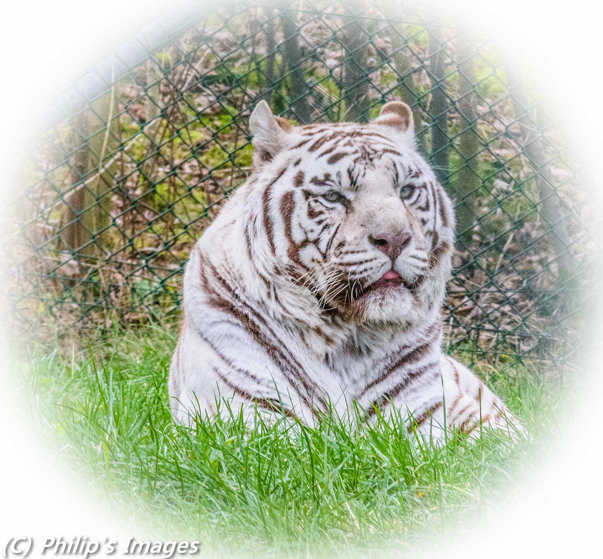 Tiger by philips images