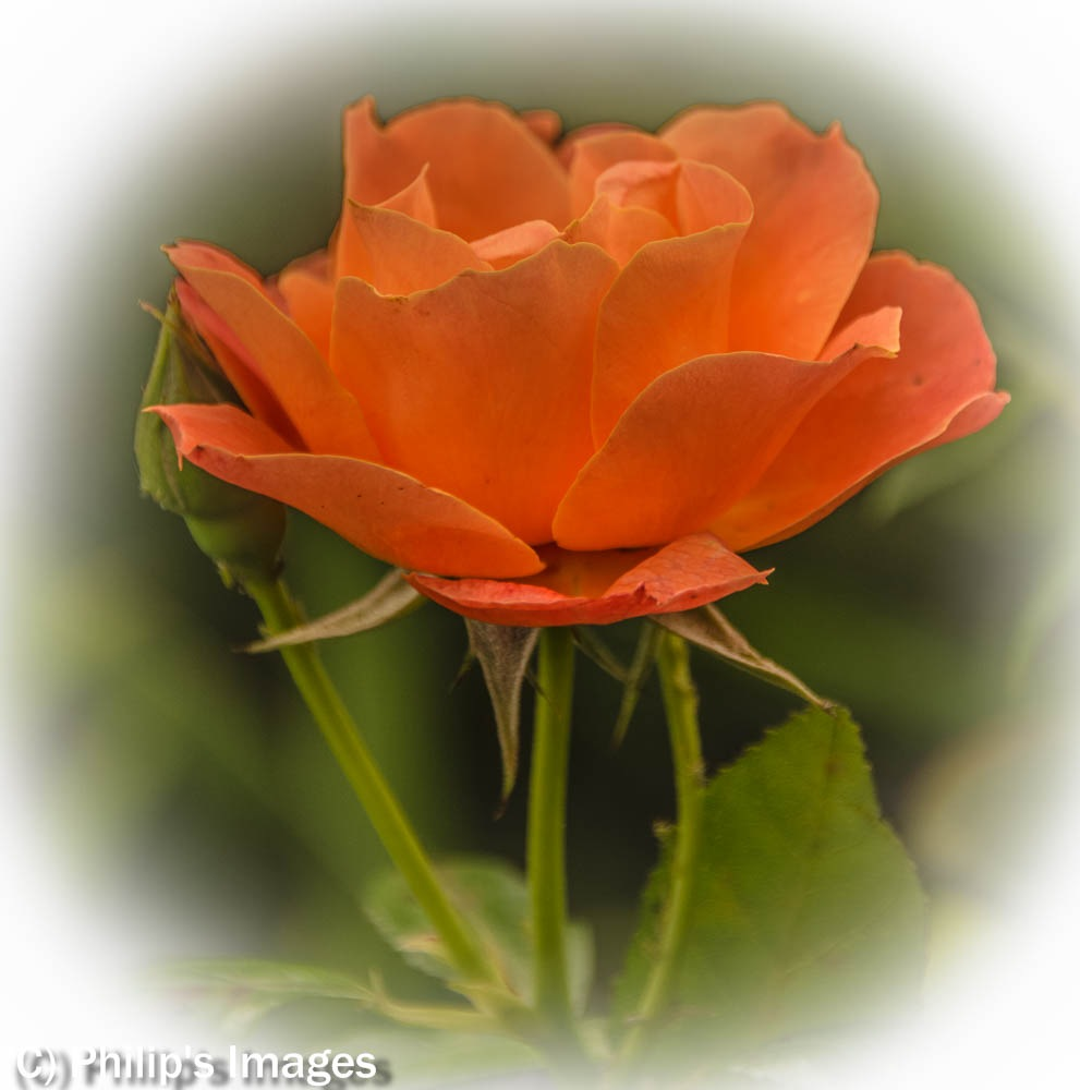 Orange Rose by philips images