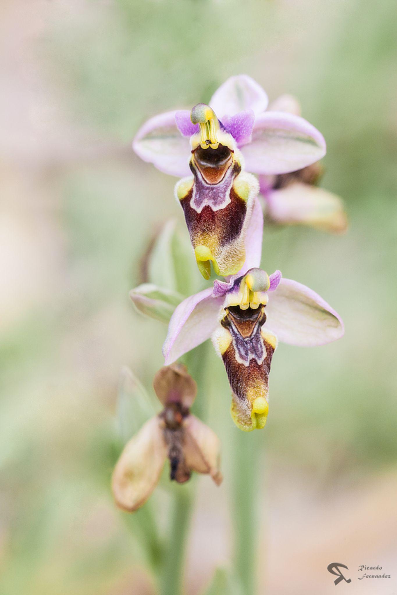 orquidea  by Ricardo Fernandez