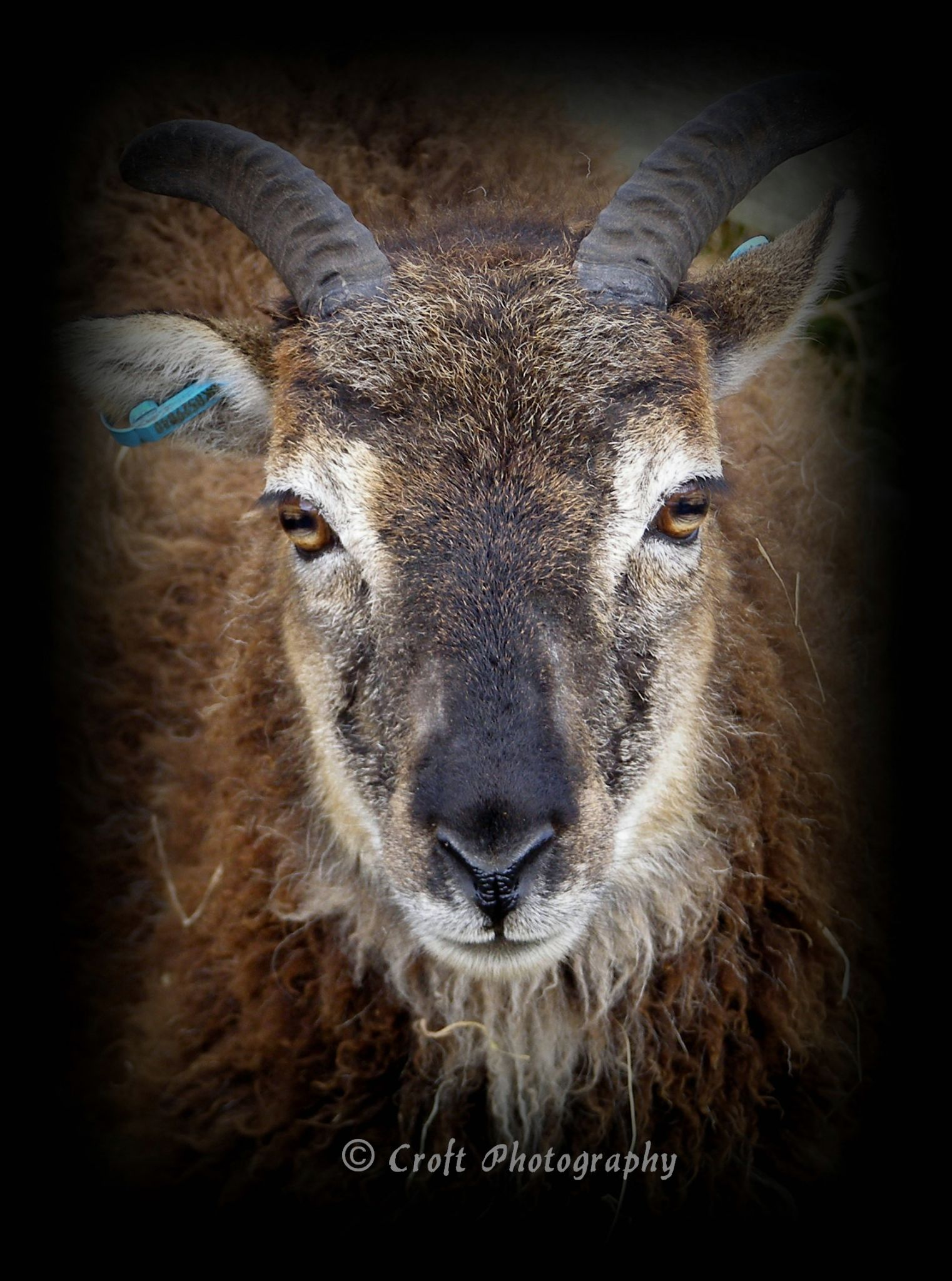 Portrait of a Female Soay Sheep by Kate Ali