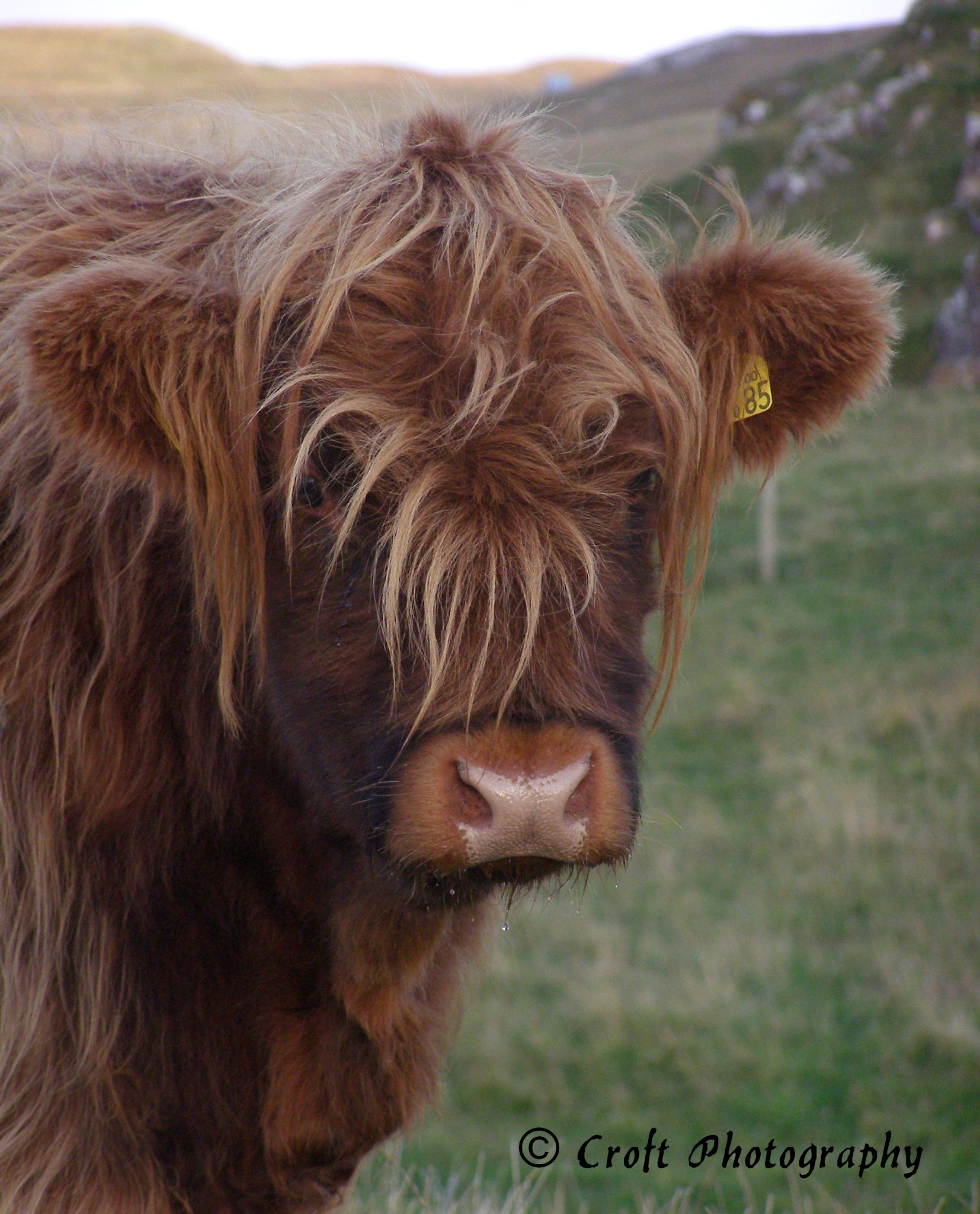 Highland Cow by Kate Ali