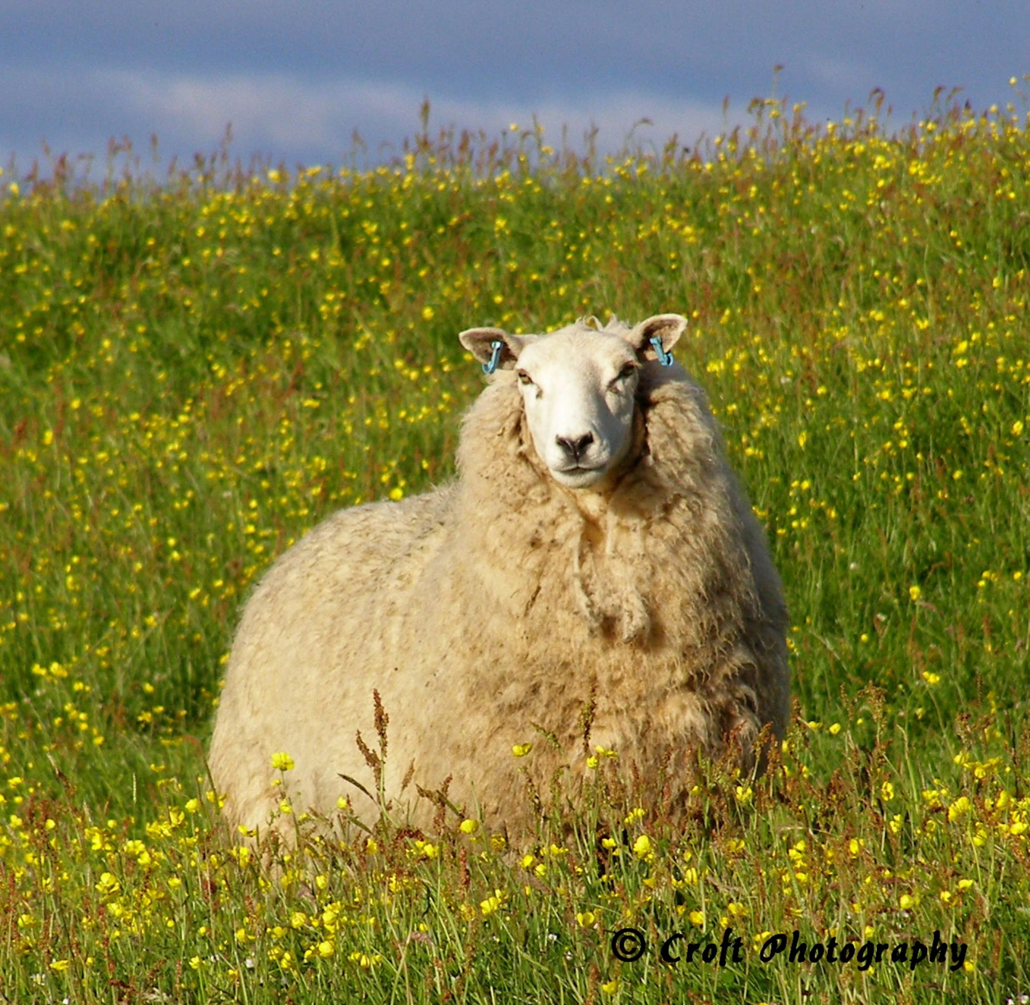 Sheep in Buttercup Field by Kate Ali