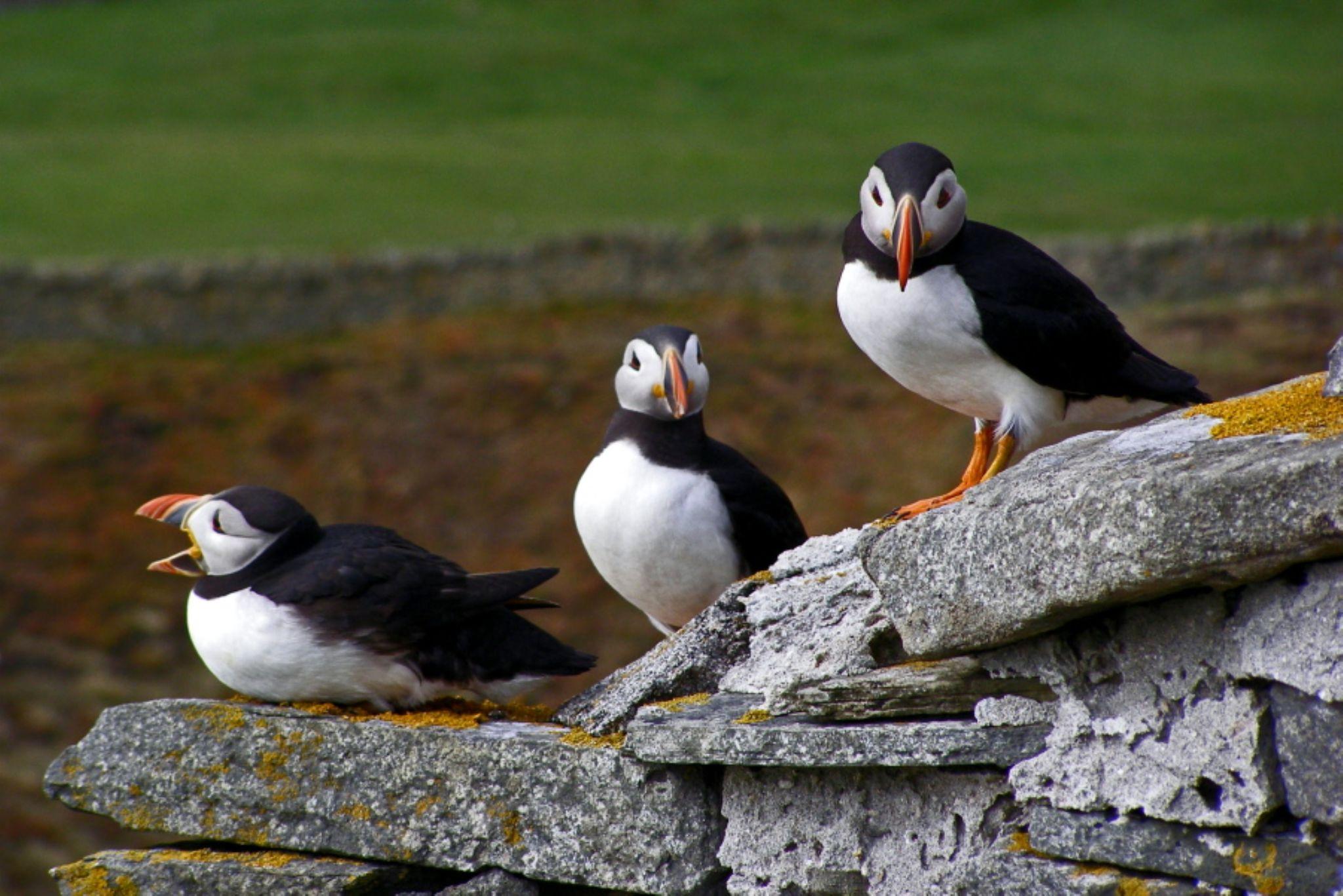 Puffins, Sumburgh, Shetland Isles by Kate Ali