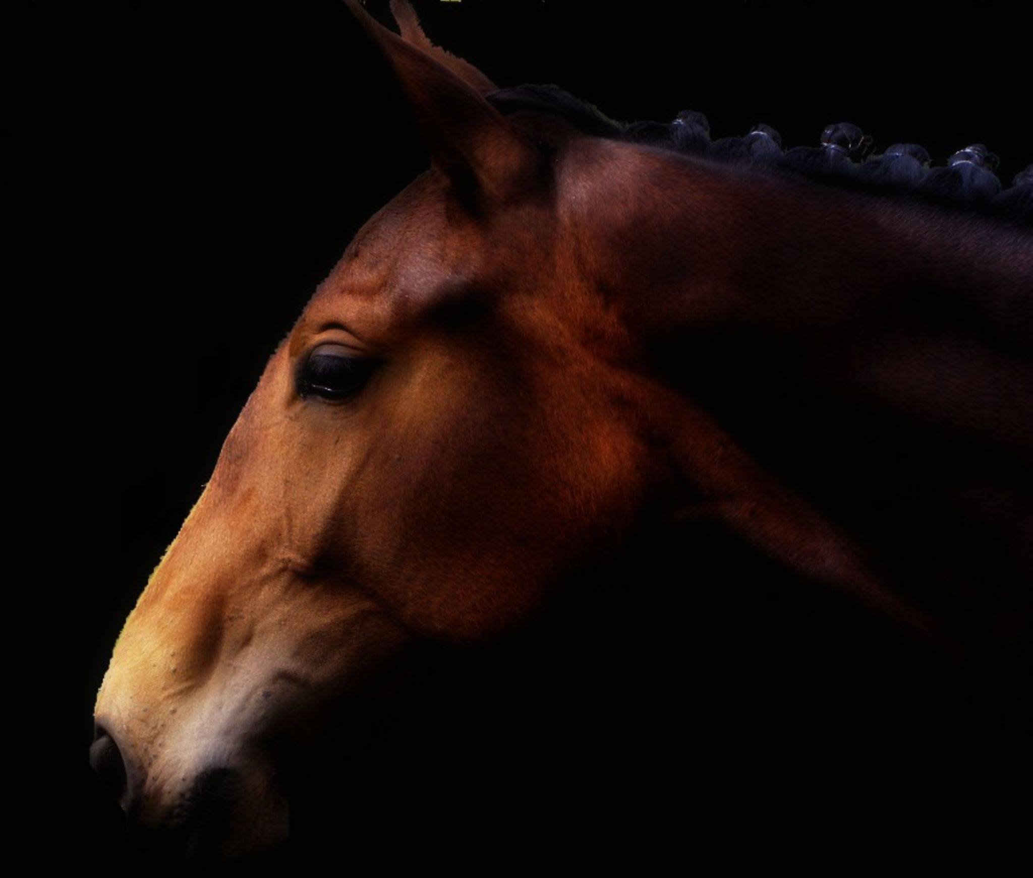 Profile of a Show Horse by Kate Ali