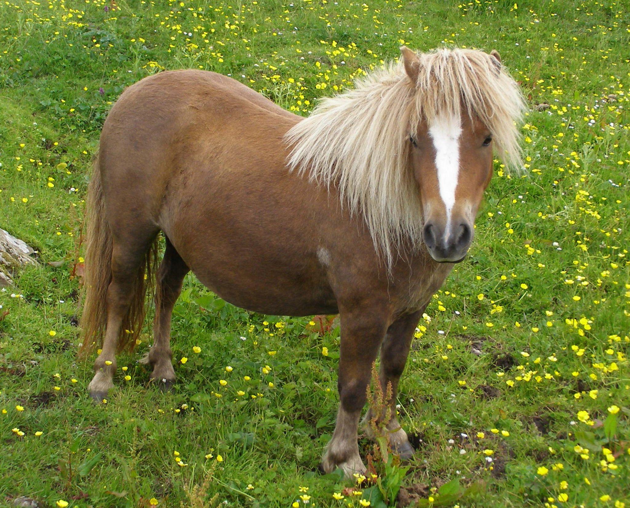 Chestnut Shetland Pony with Blaze by Kate Ali