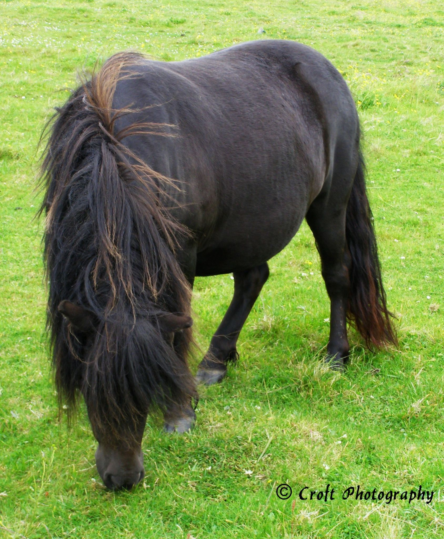 Black Shetland PonyMare by Kate Ali
