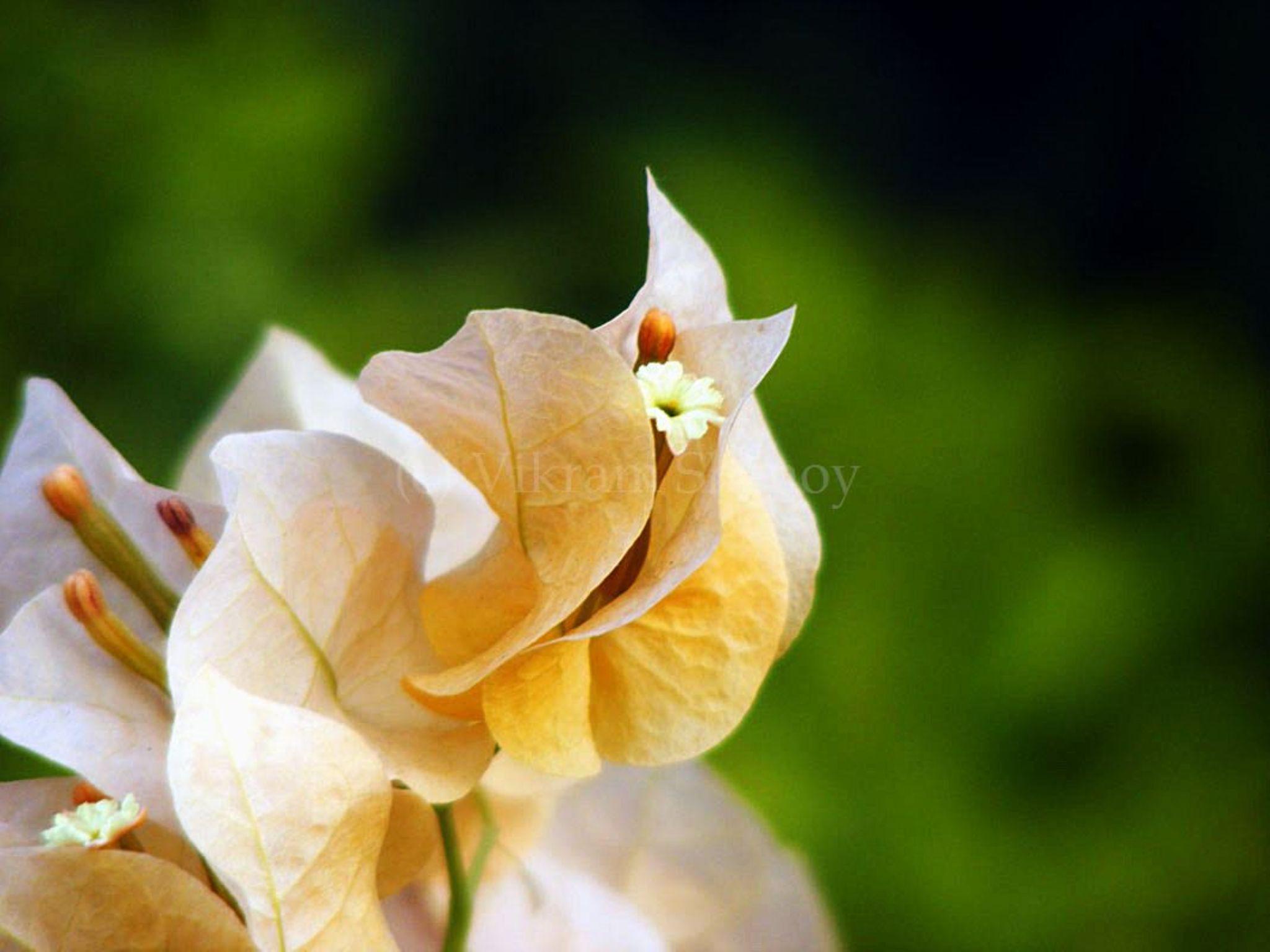 Little Flower by Vikram Shenoy