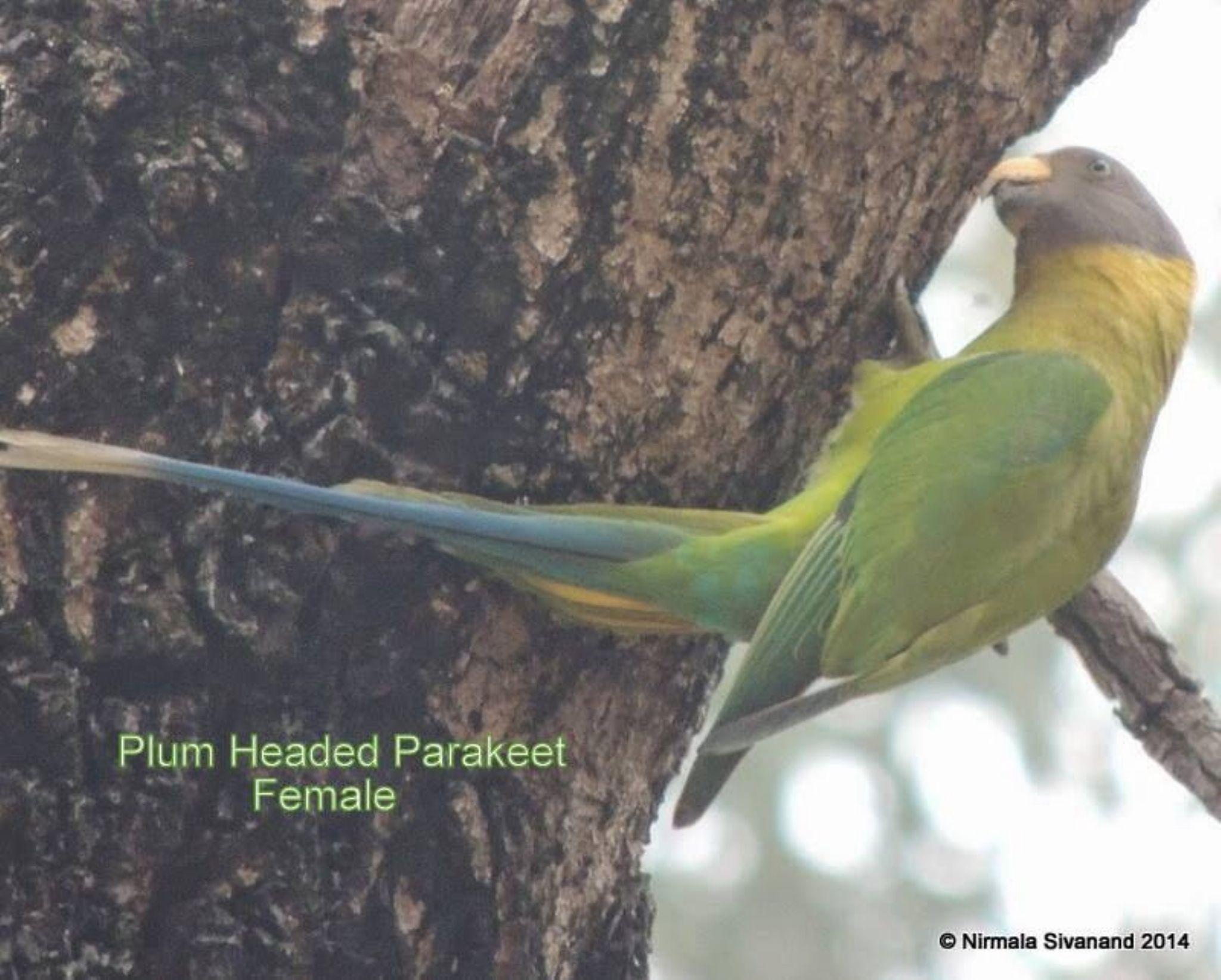 Plum headed parakeet by Nirmala Sivanand