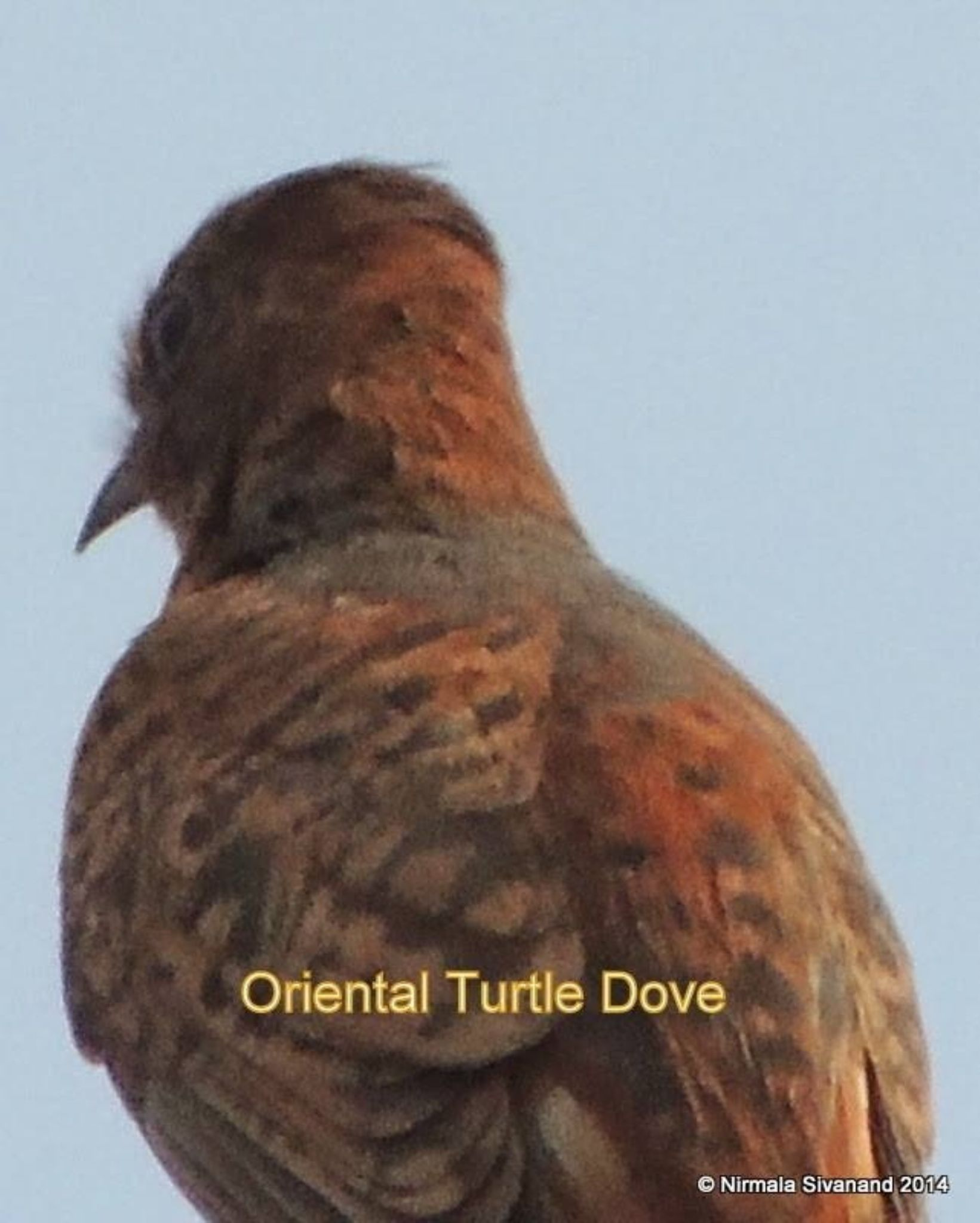 Oriental turtle dove by Nirmala Sivanand