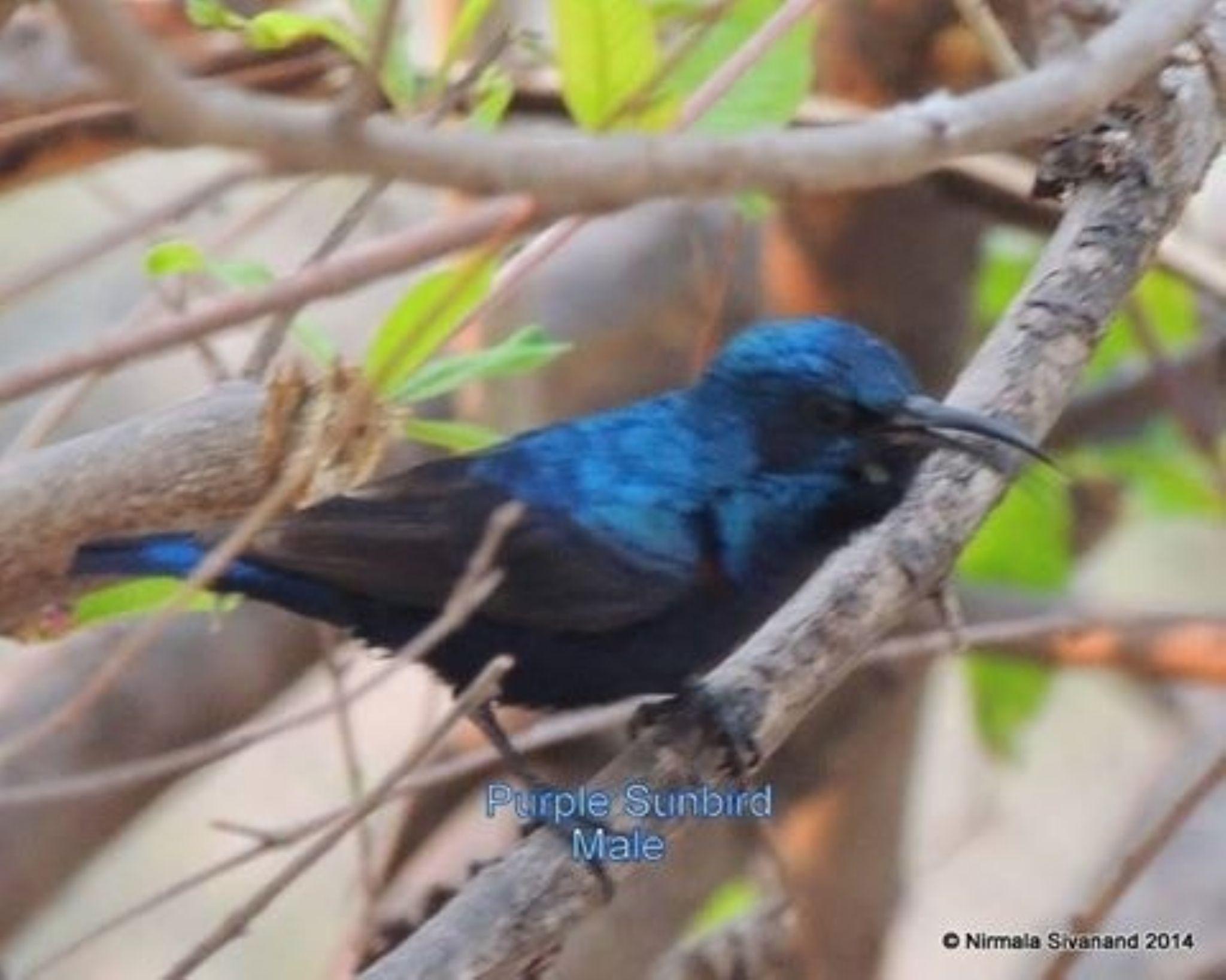 Purple sunbird male by Nirmala Sivanand