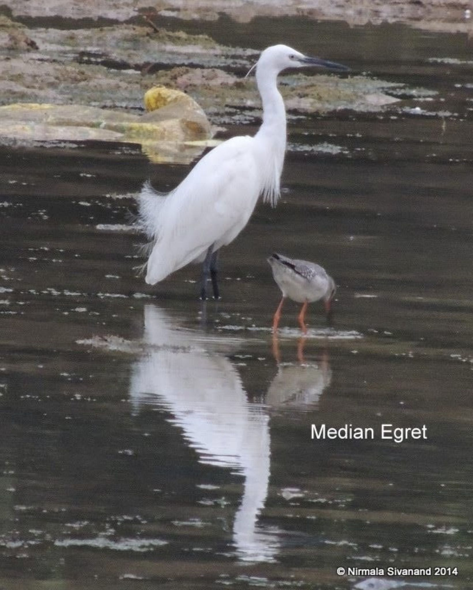 Little egret by Nirmala Sivanand