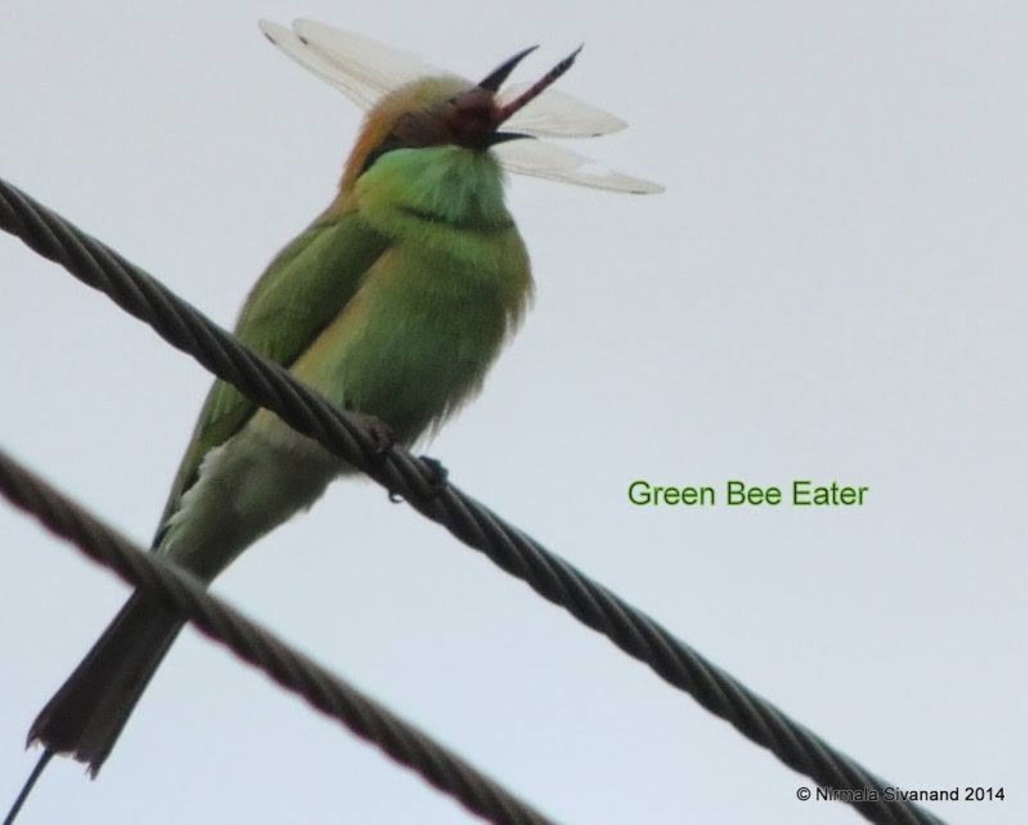 Green bee eater by Nirmala Sivanand