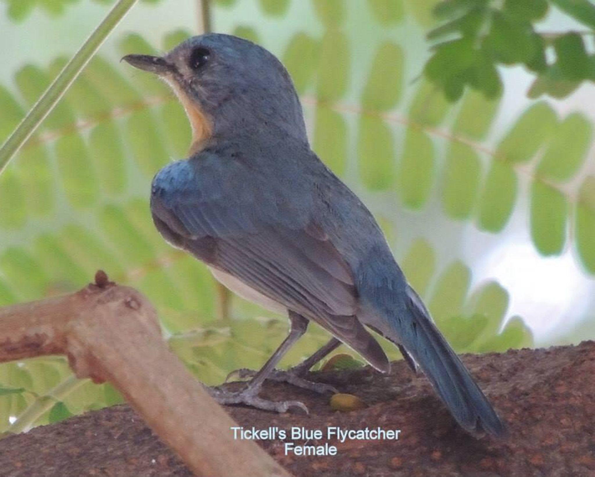 Ticklle's blue flycatcher by Nirmala Sivanand