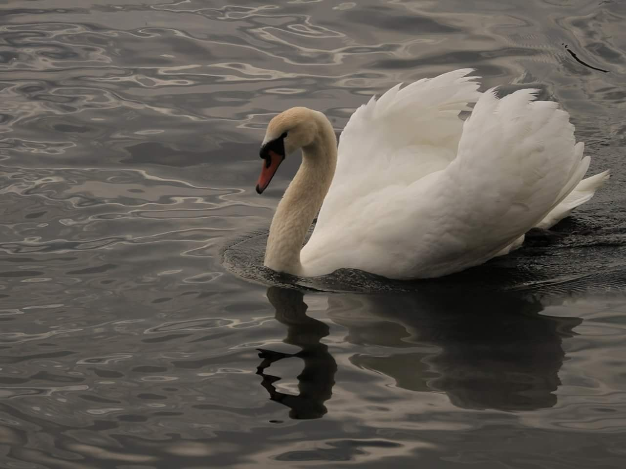 the Swan  by janatlemonsen