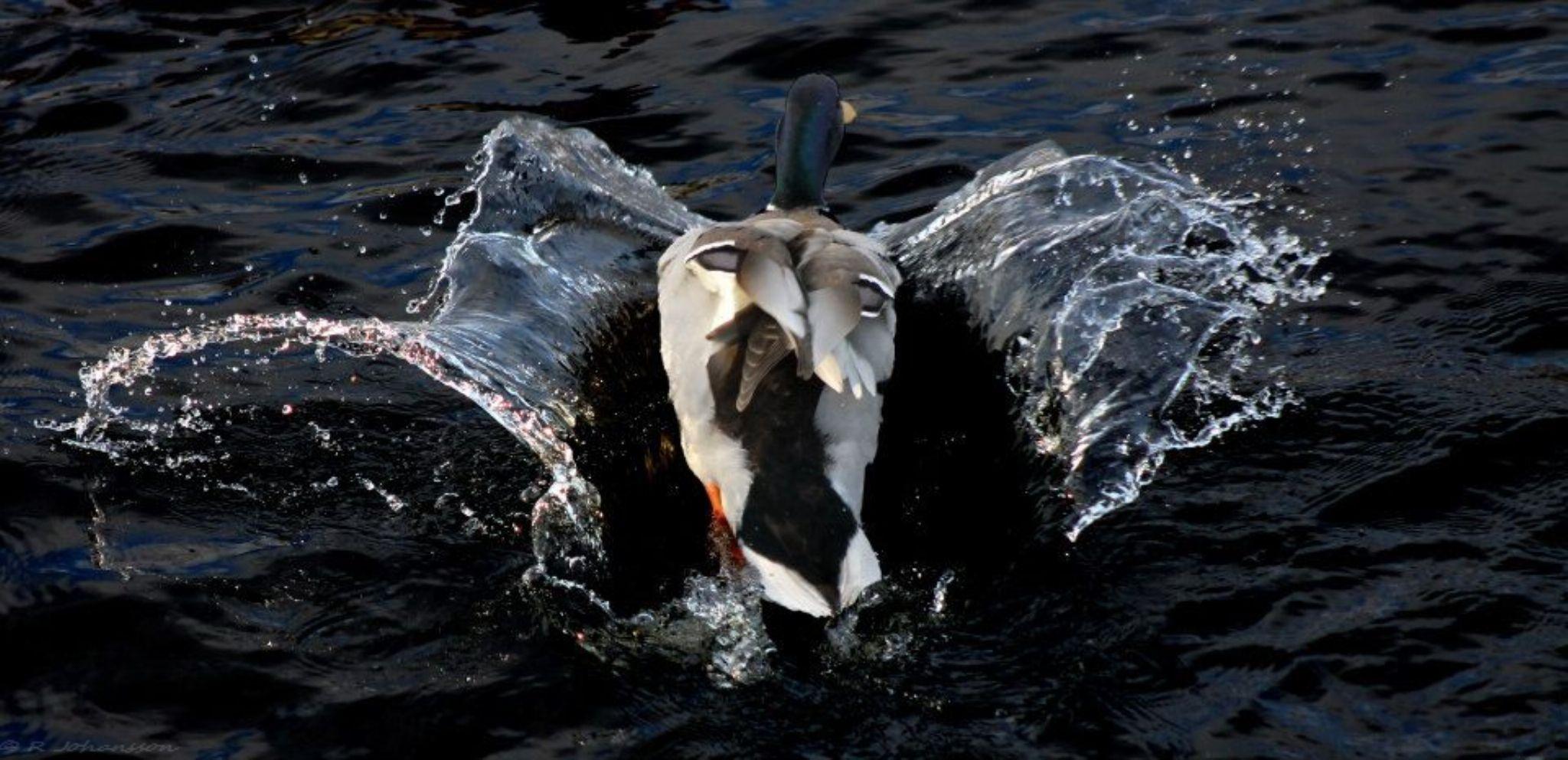 Splash by roger.joh