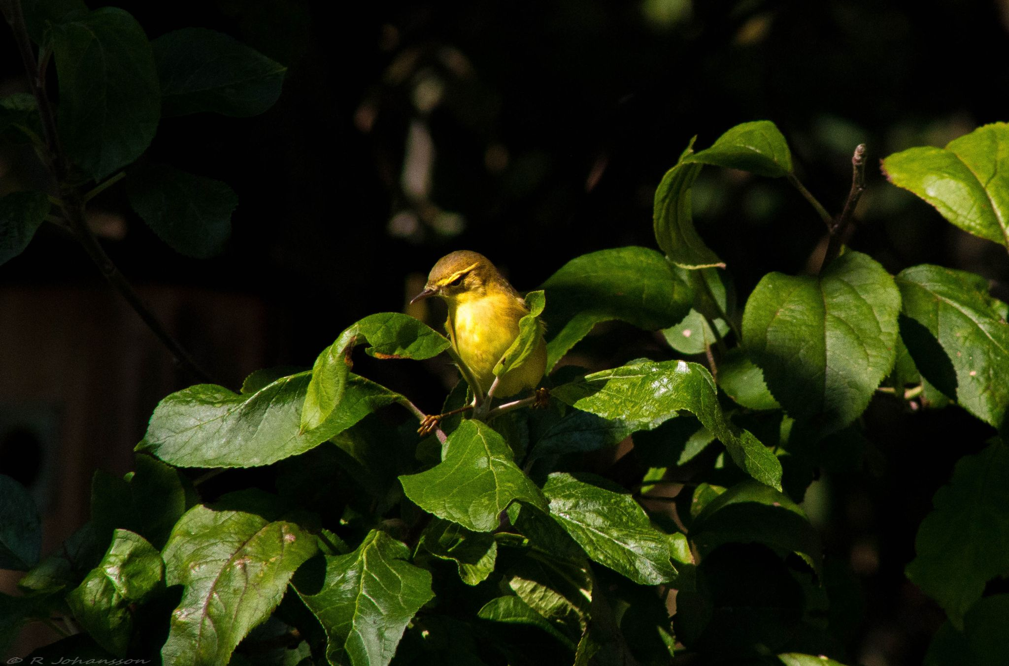 Wood Warbler by roger.joh