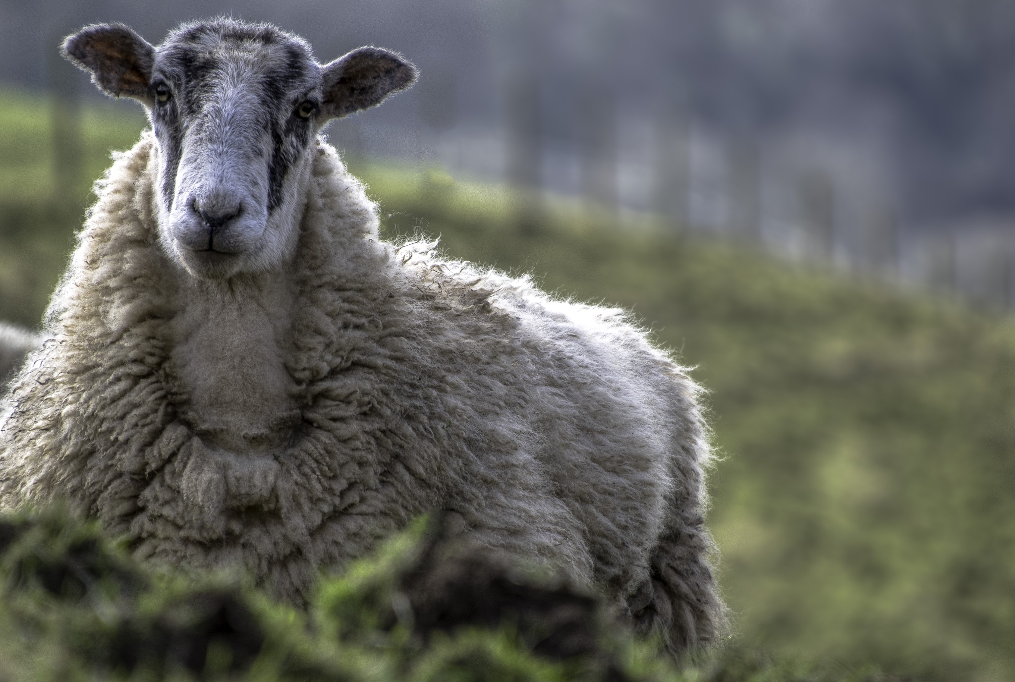 local sheep by phillip ticehurst