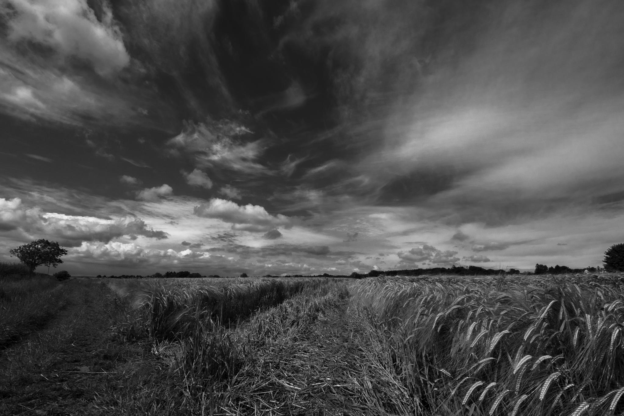 wheatfield by phillip ticehurst