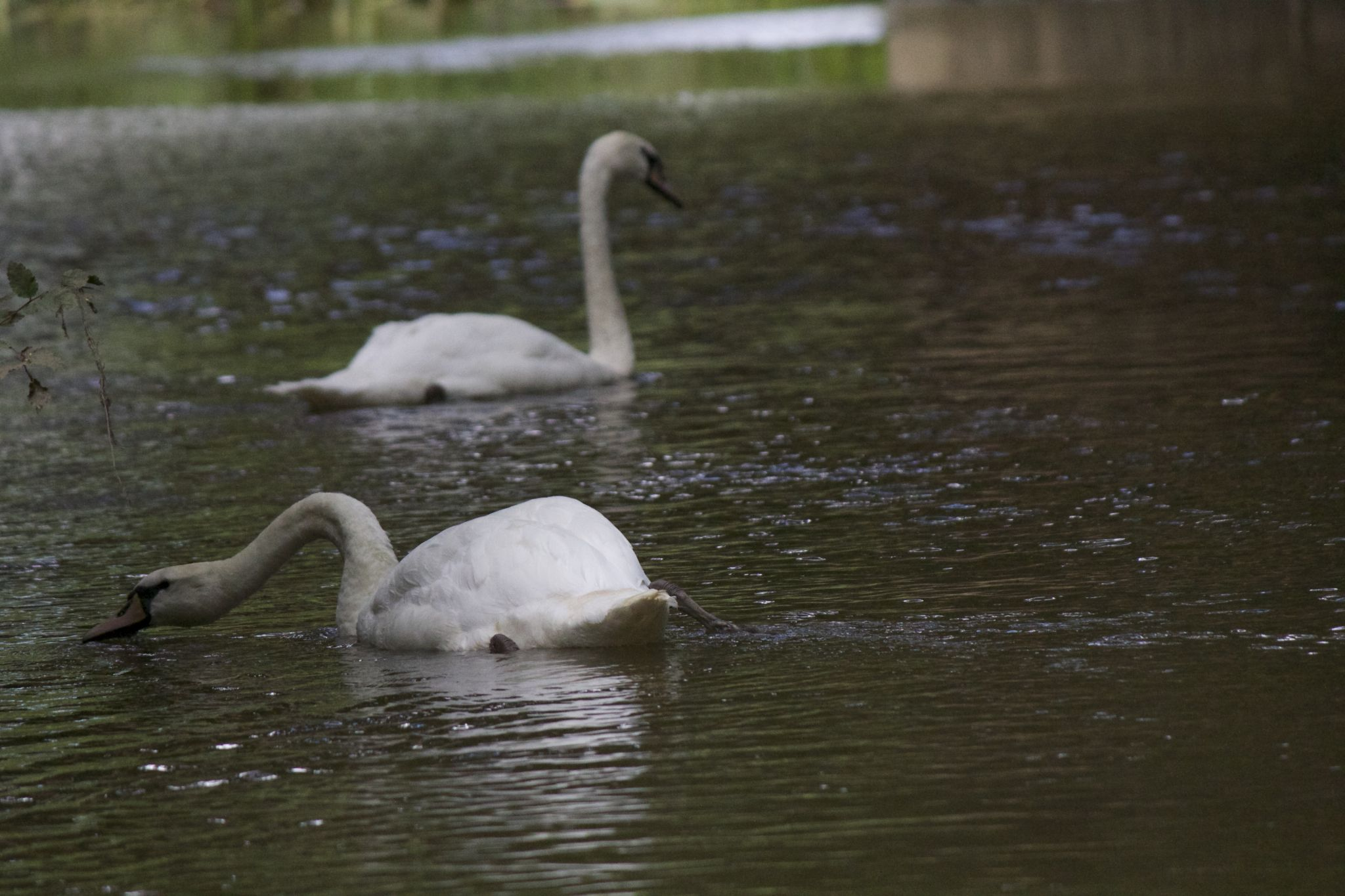 Swans by Tyler Nightingale
