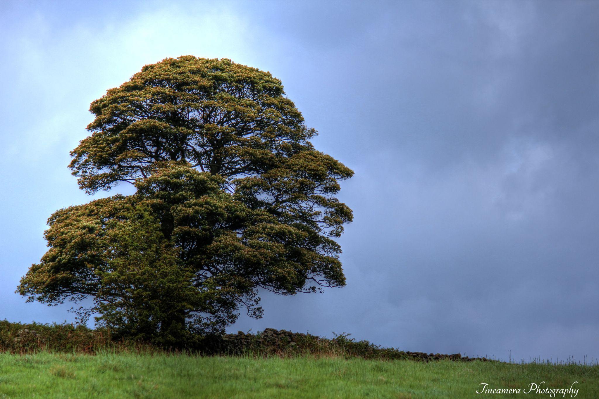 Lonely Oak, Stormy Skies by john jenkinson
