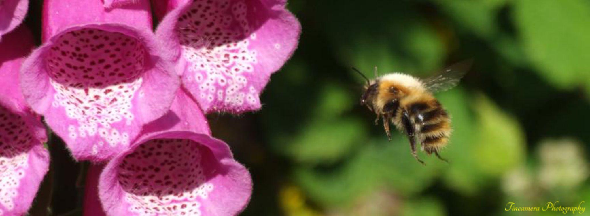 Foxglove & Bee by john jenkinson