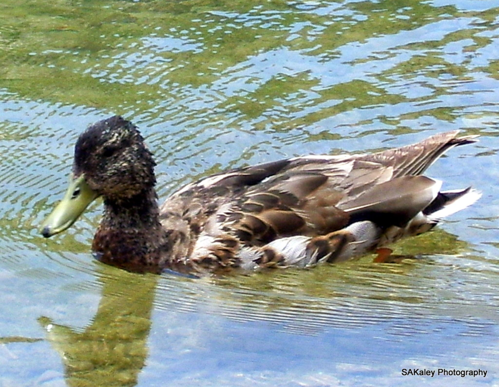 Swimming Duck by sally.kaley