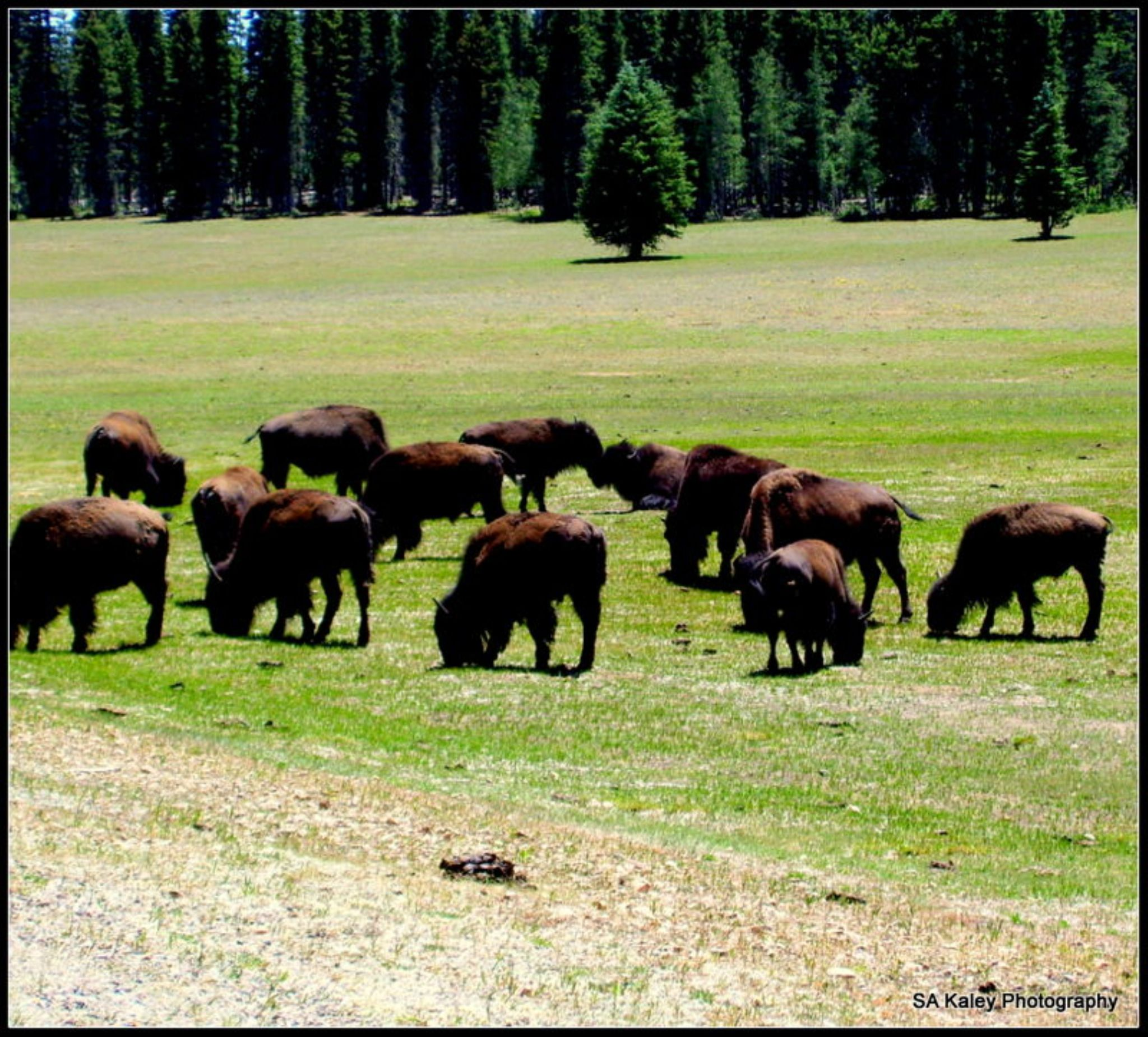 Bison by sally.kaley