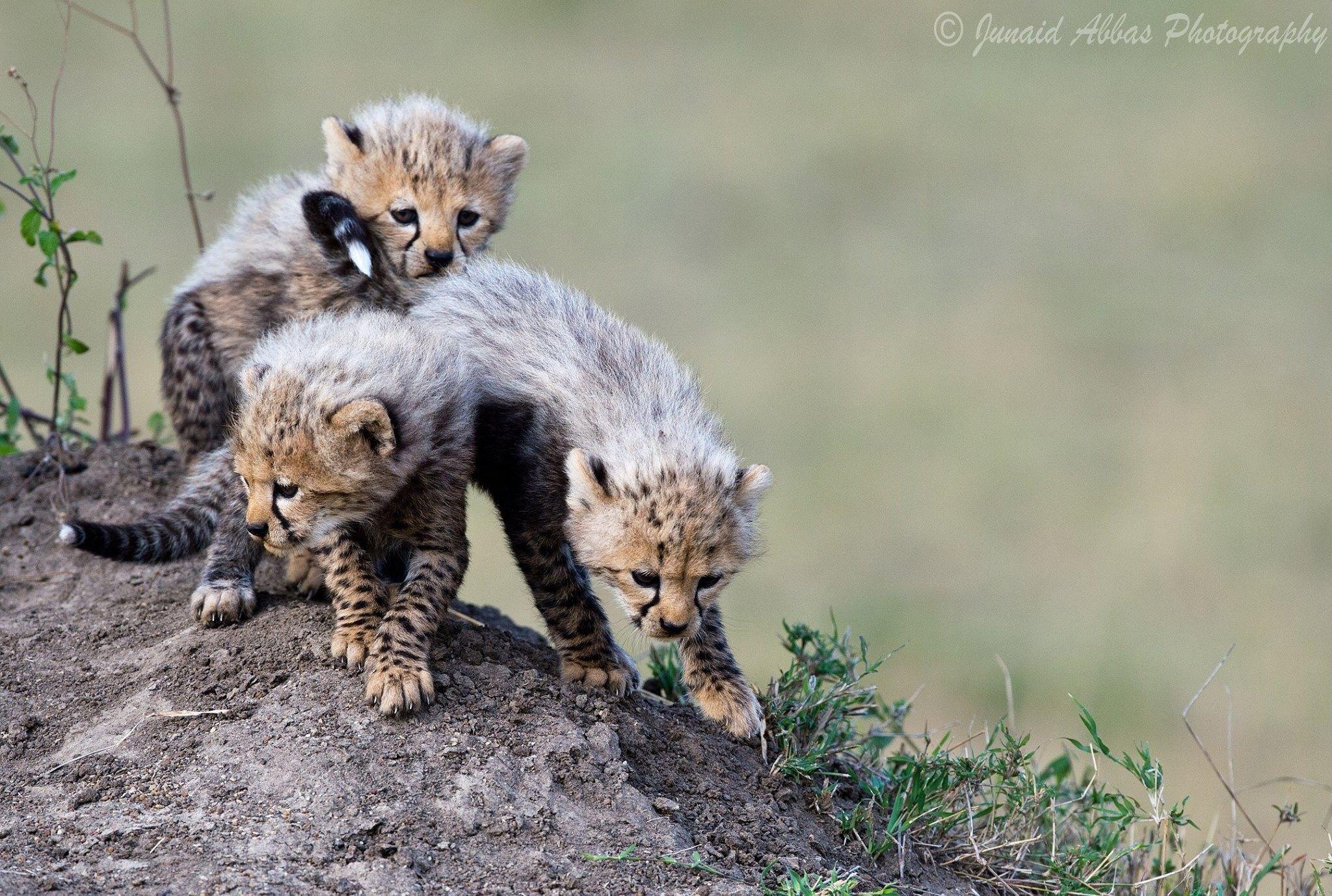 Cheetah Cubs by Junaid Abbas