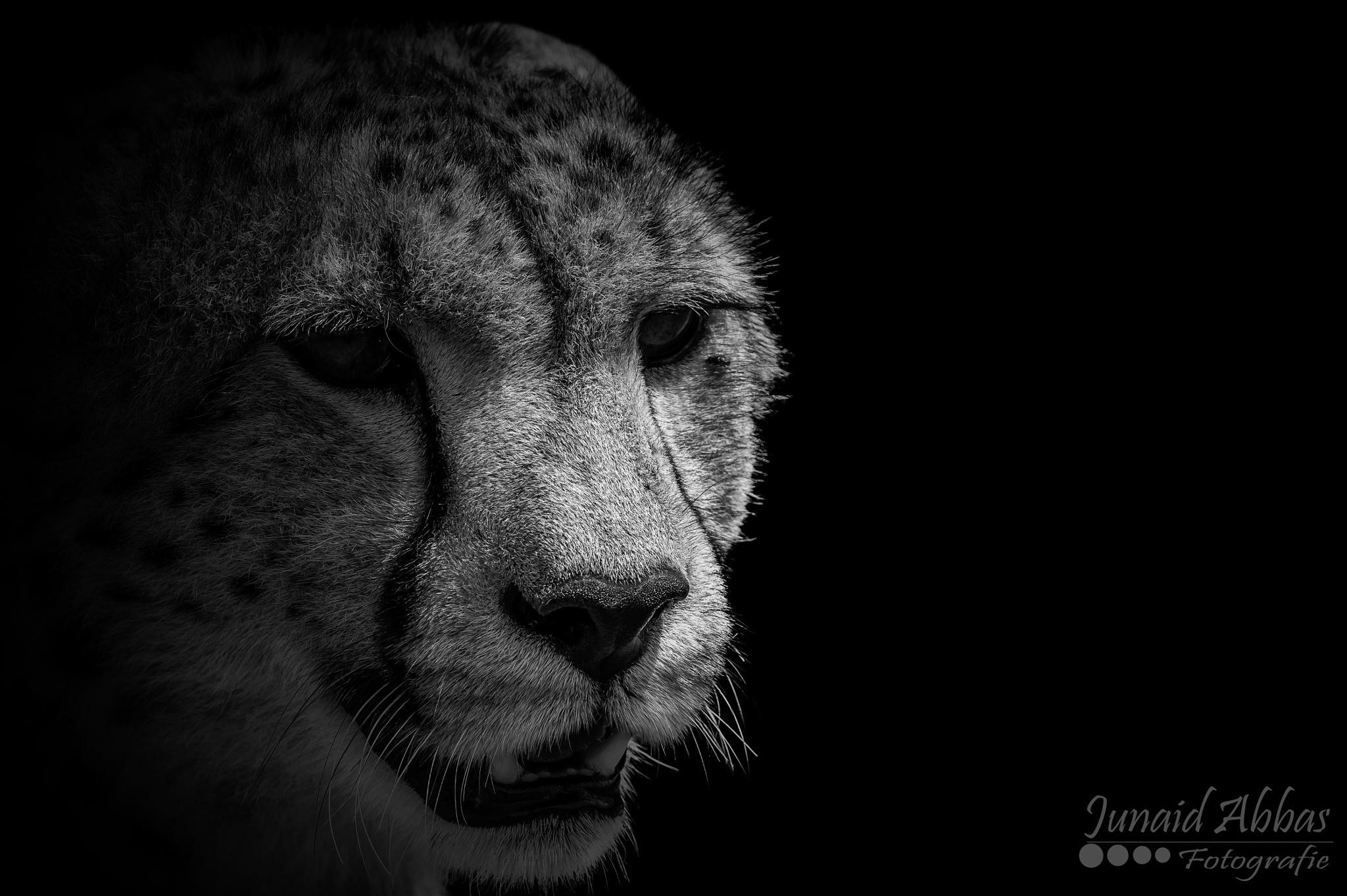 Cheetah - Male by Junaid Abbas