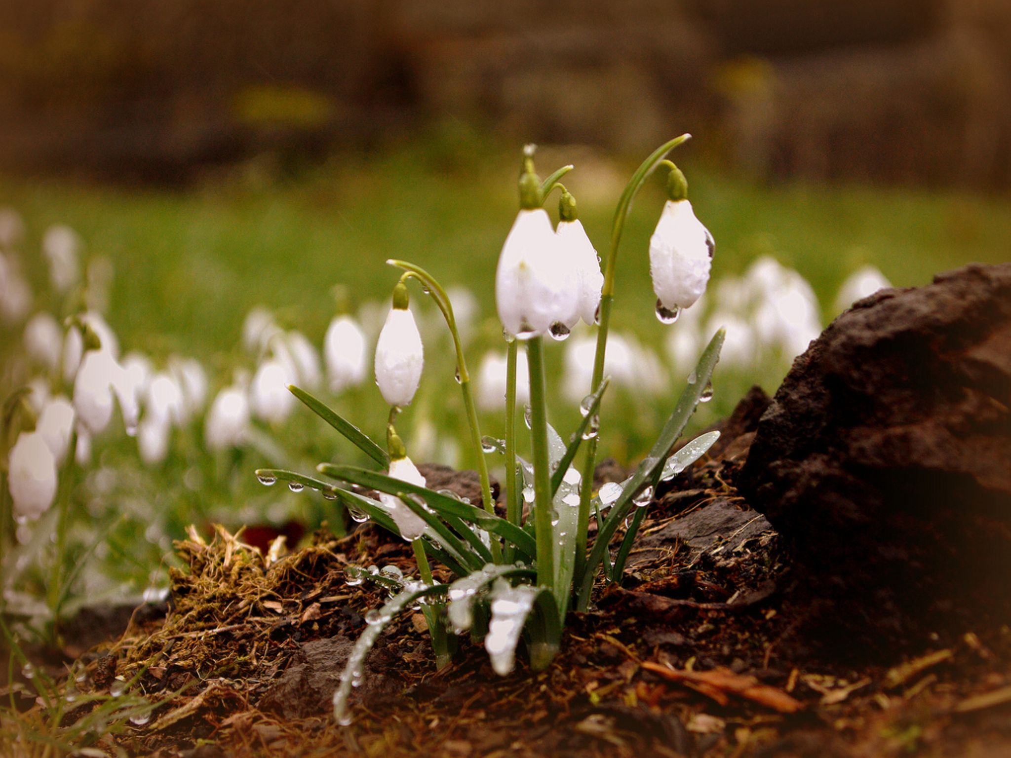 Snowdrops by Bill Guiller