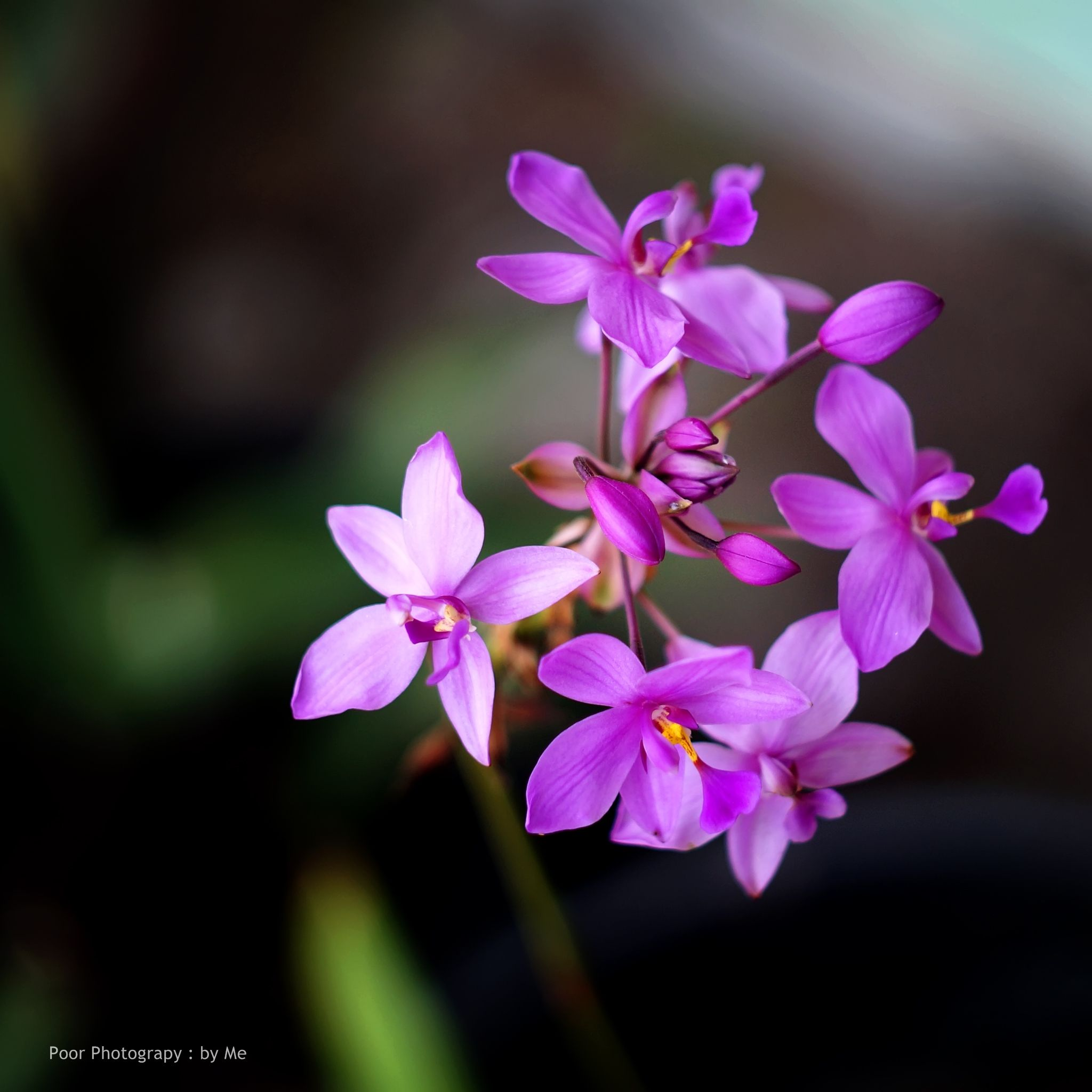 orchid by buagas.andy