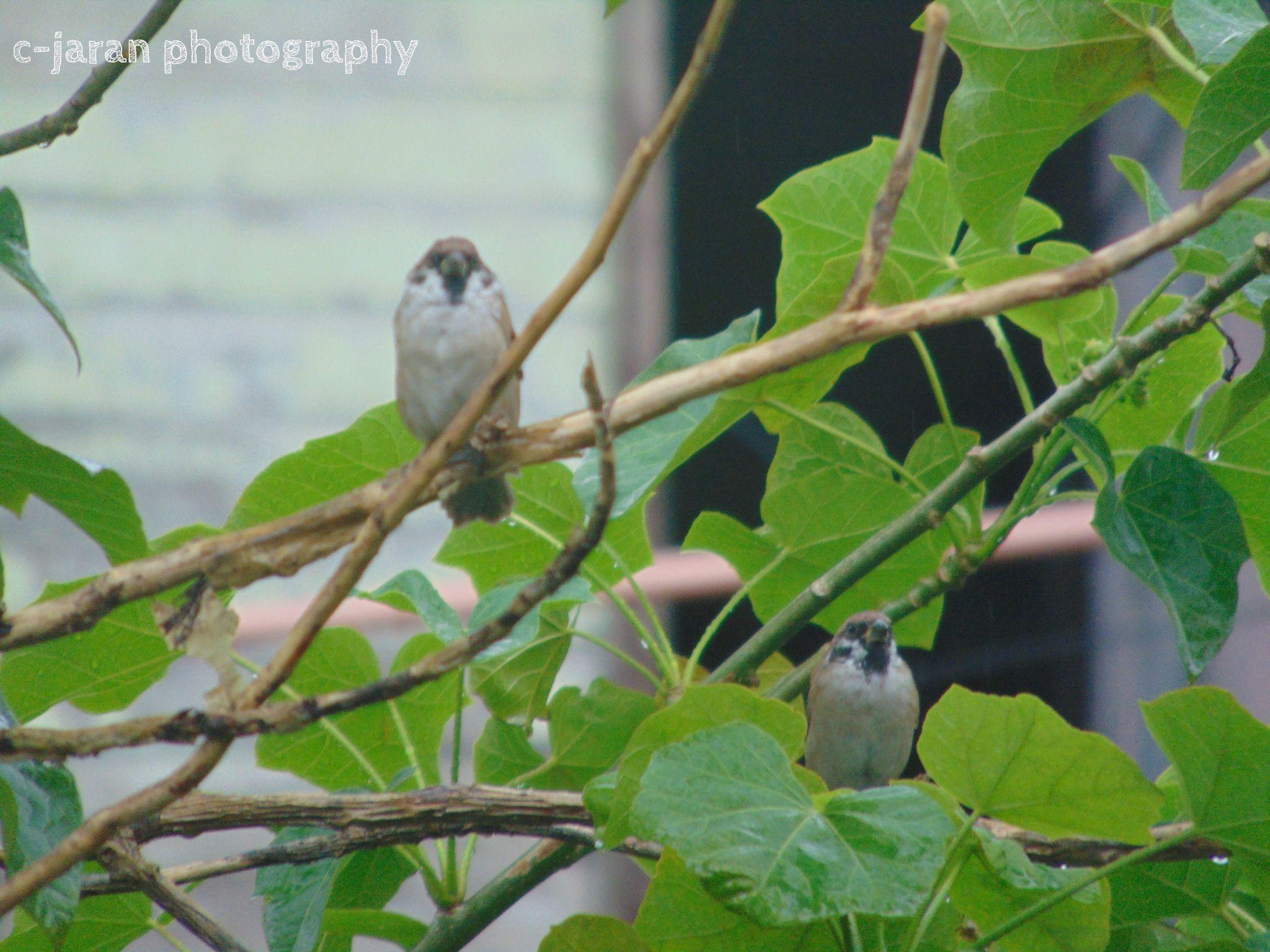 two maya bird philippines by dennis.jaran