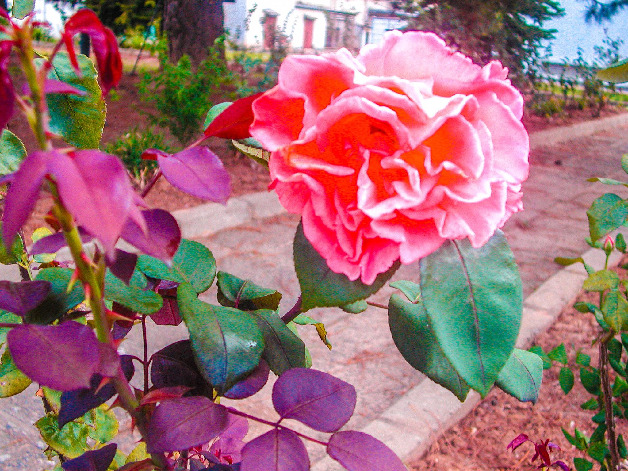 rose by Hajaniaina Mbolatiana RAMANANTSOA