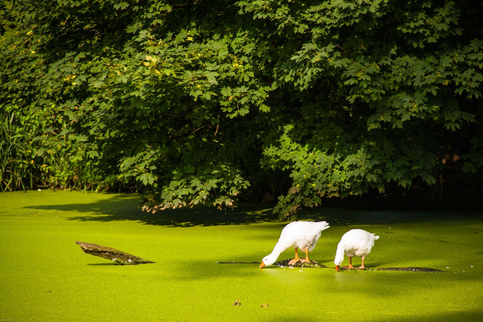 Ducks by Guy Augustus