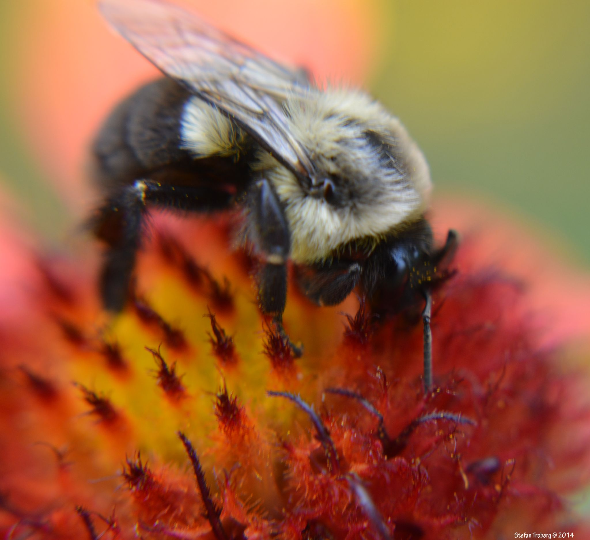 Bumblebee working hard for pollen by Stefan Troberg