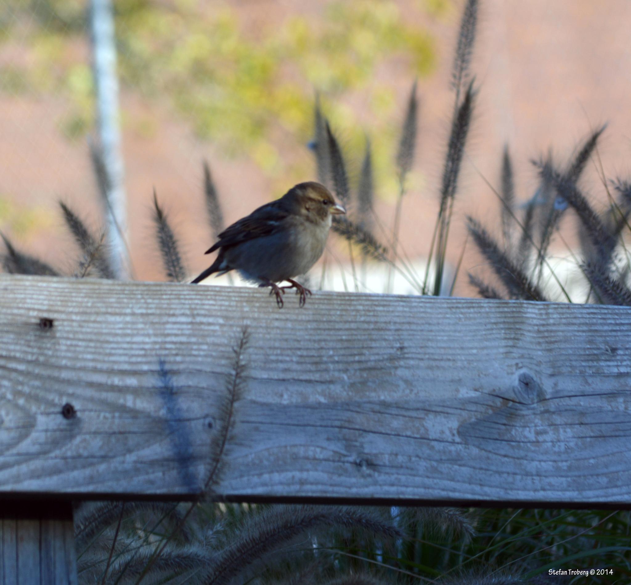 A little sparrow enjoy the fall by Stefan Troberg