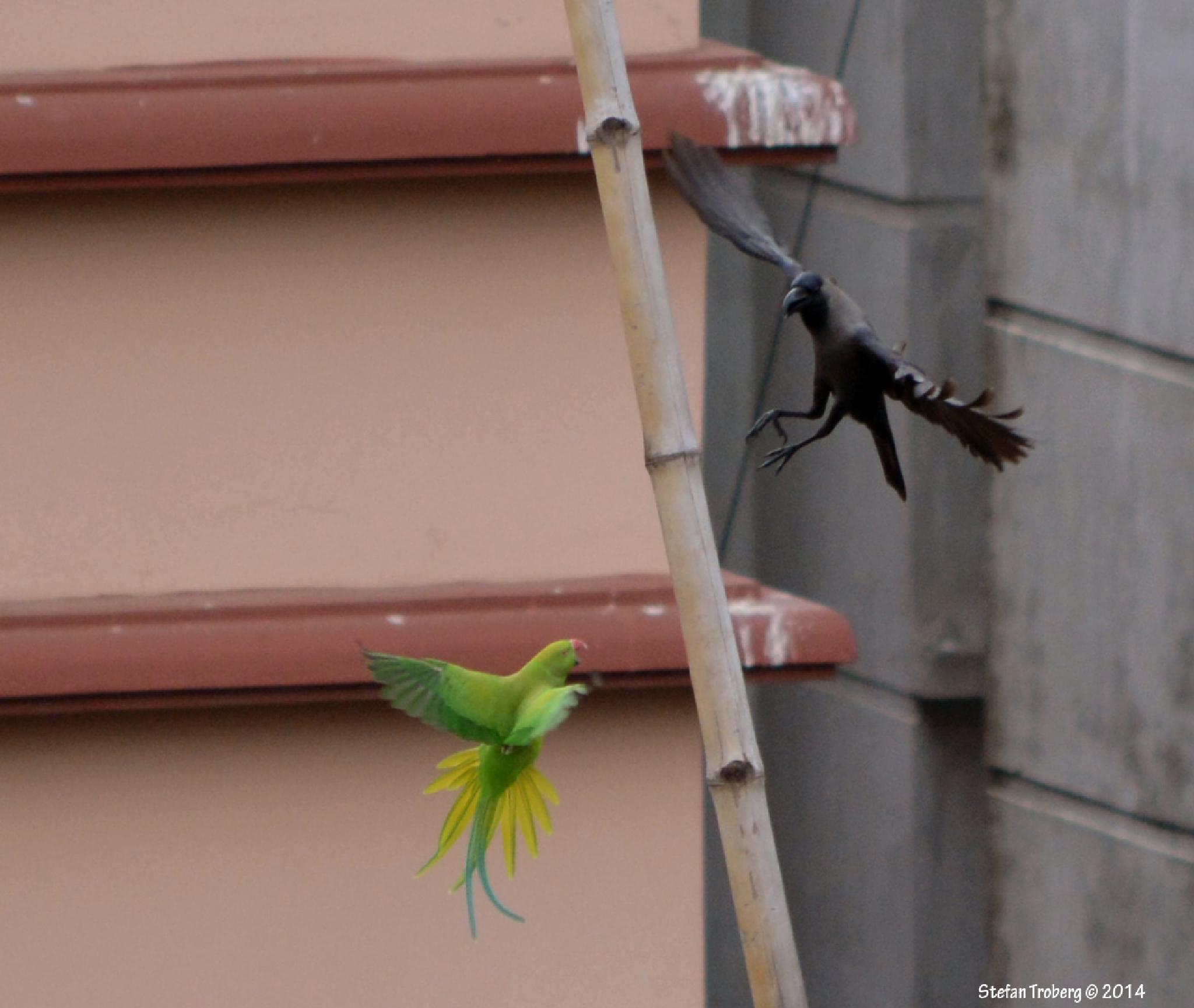 Who is the winner? Parrot Vs. Crow! by Stefan Troberg