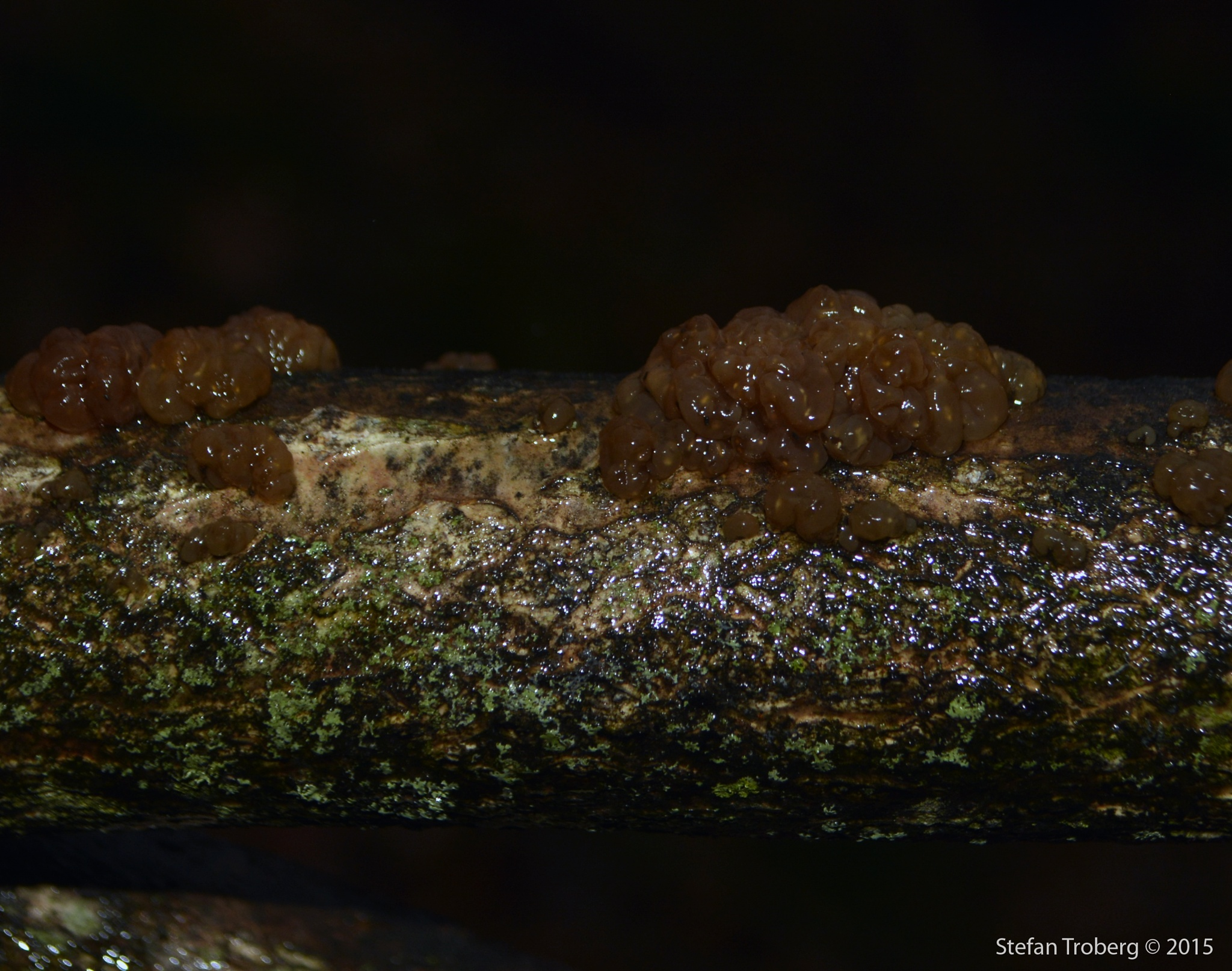 Fungi still growing in December night full of rain by Stefan Troberg
