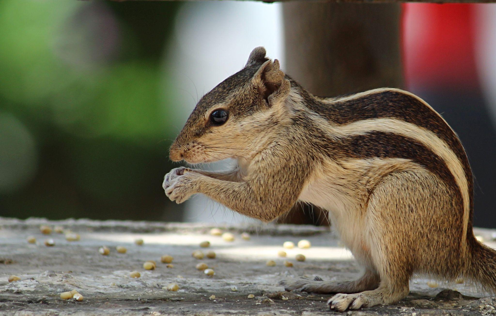 Squirrel by Hemang Shukla
