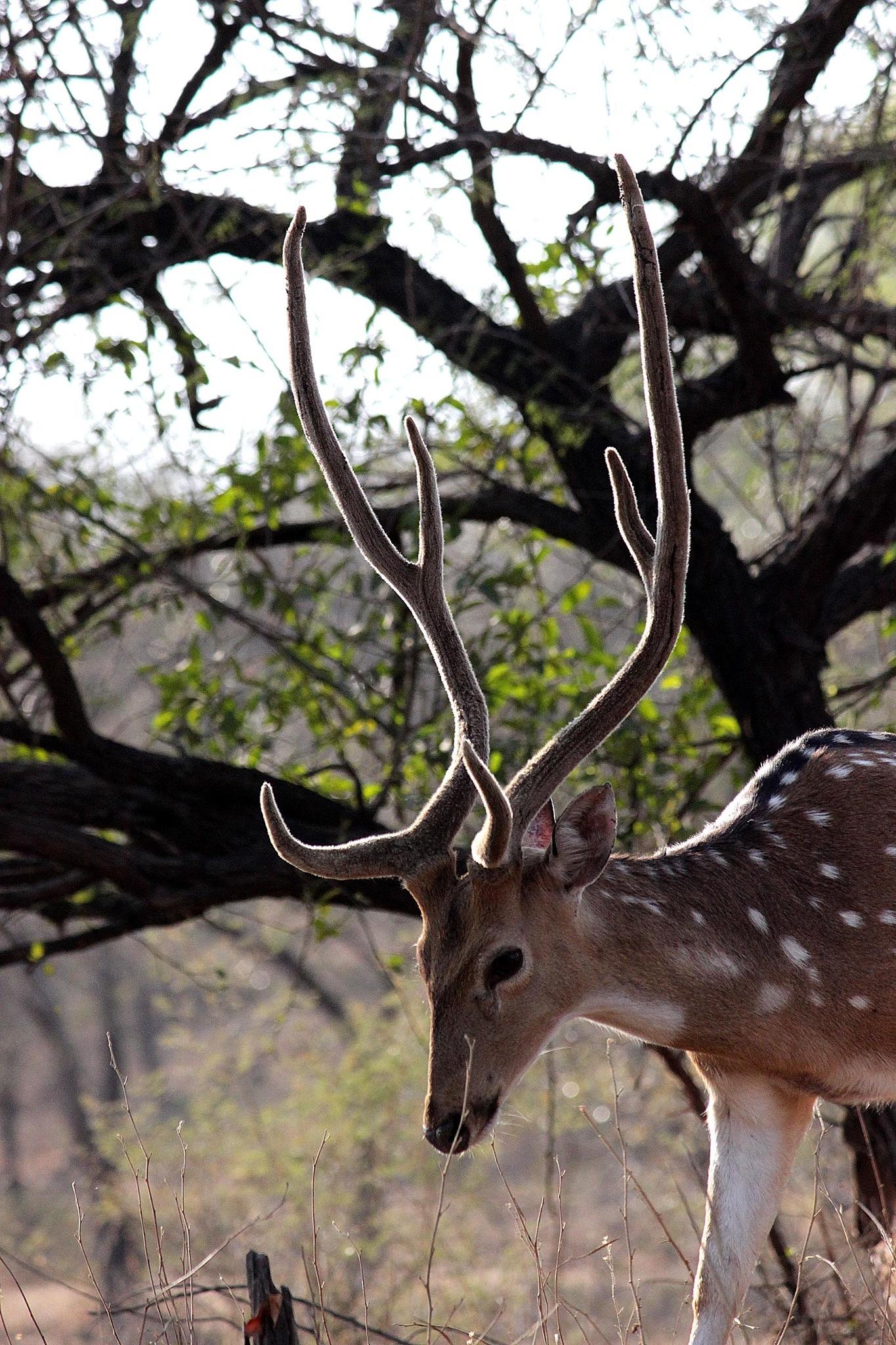 spotted deer by Hemang Shukla