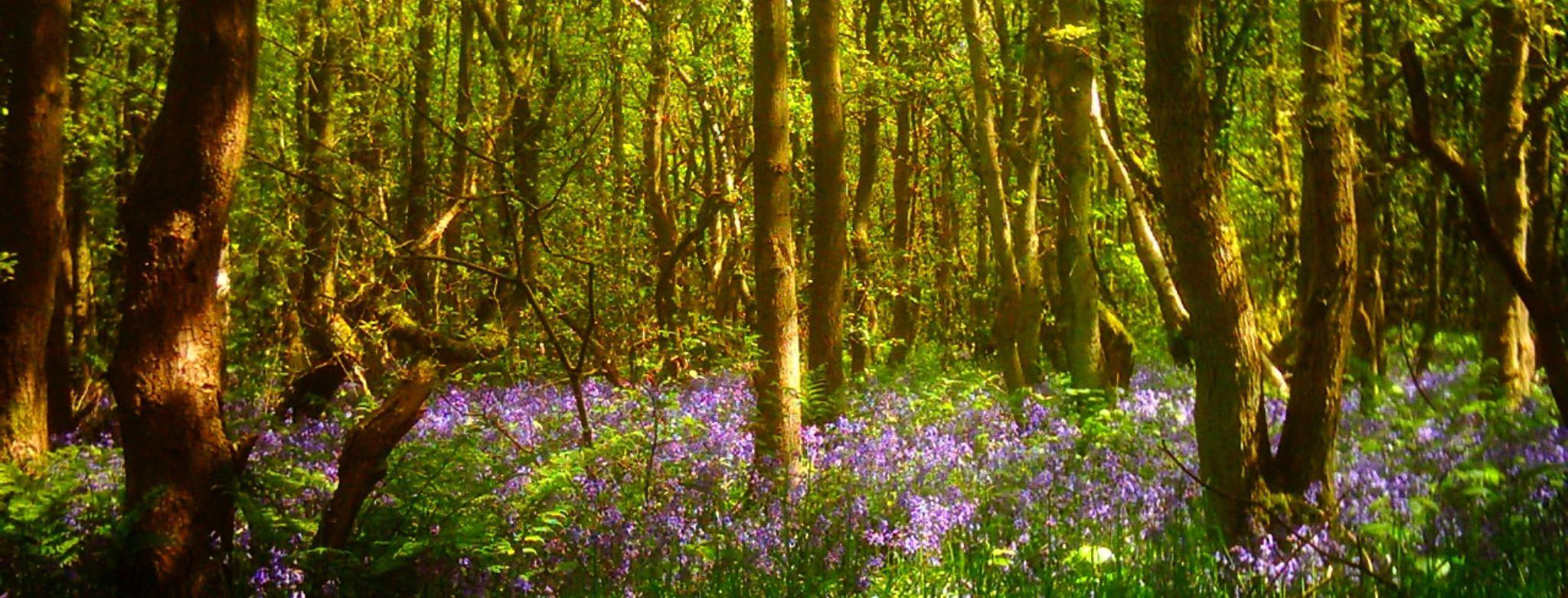 bluebell wood, staffordshire england by chris.adams.3557