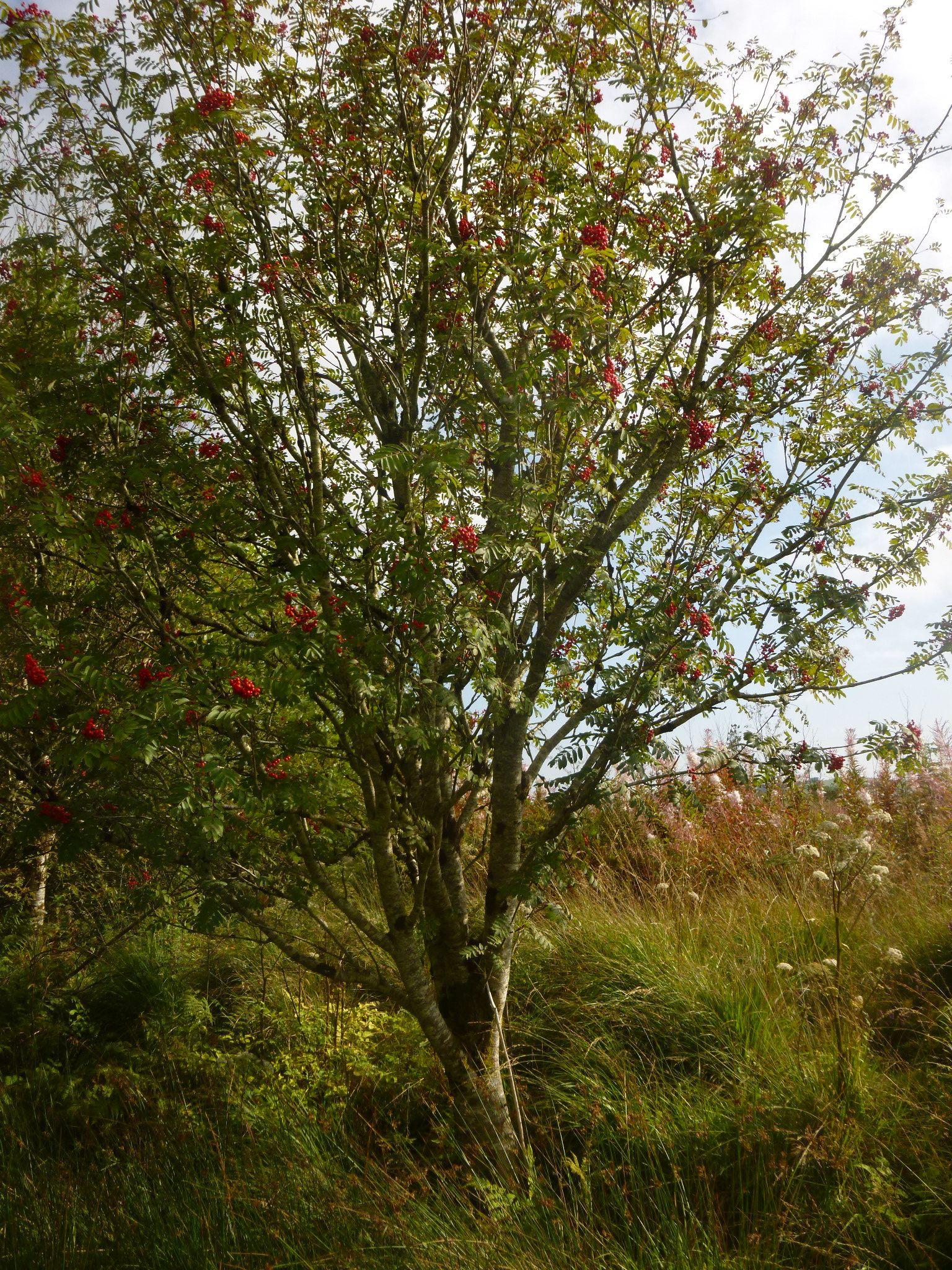 rowan tree by chris.adams.3557